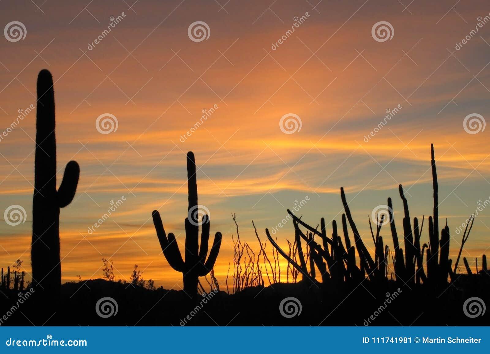 Saguaro-, för organrör och Ocotillokakturs på solnedgången i monumentet för kaktus för organrör den nationella, Arizona, USA