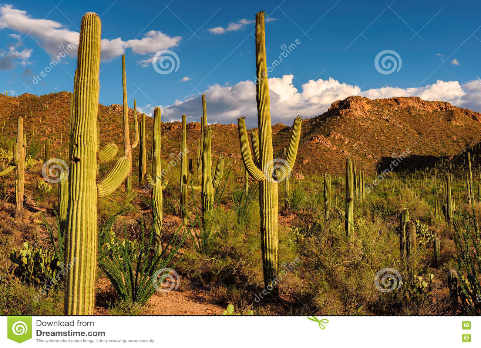 Saguarocactus bij zonsondergang in het Nationale Park van Saguaro dichtbij Tucson, Arizona