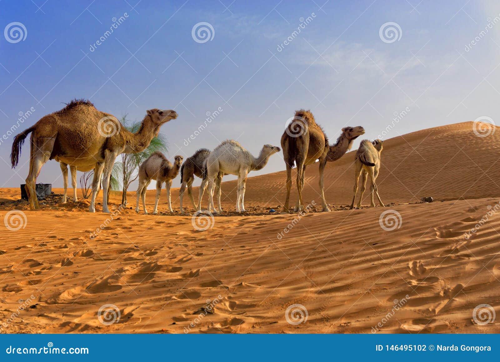Sahara Desert con los camellos en Túnez
