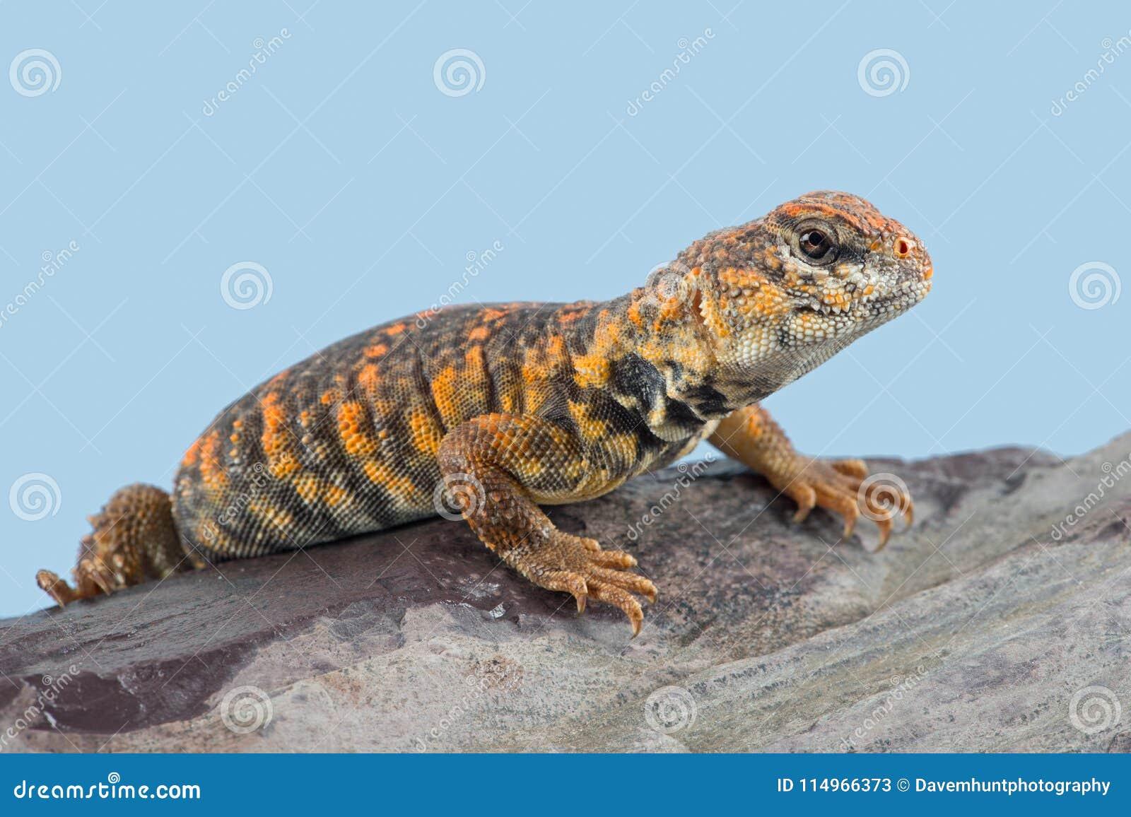 Saharan Spiny Tailed Lizard Uromastyx geyri
