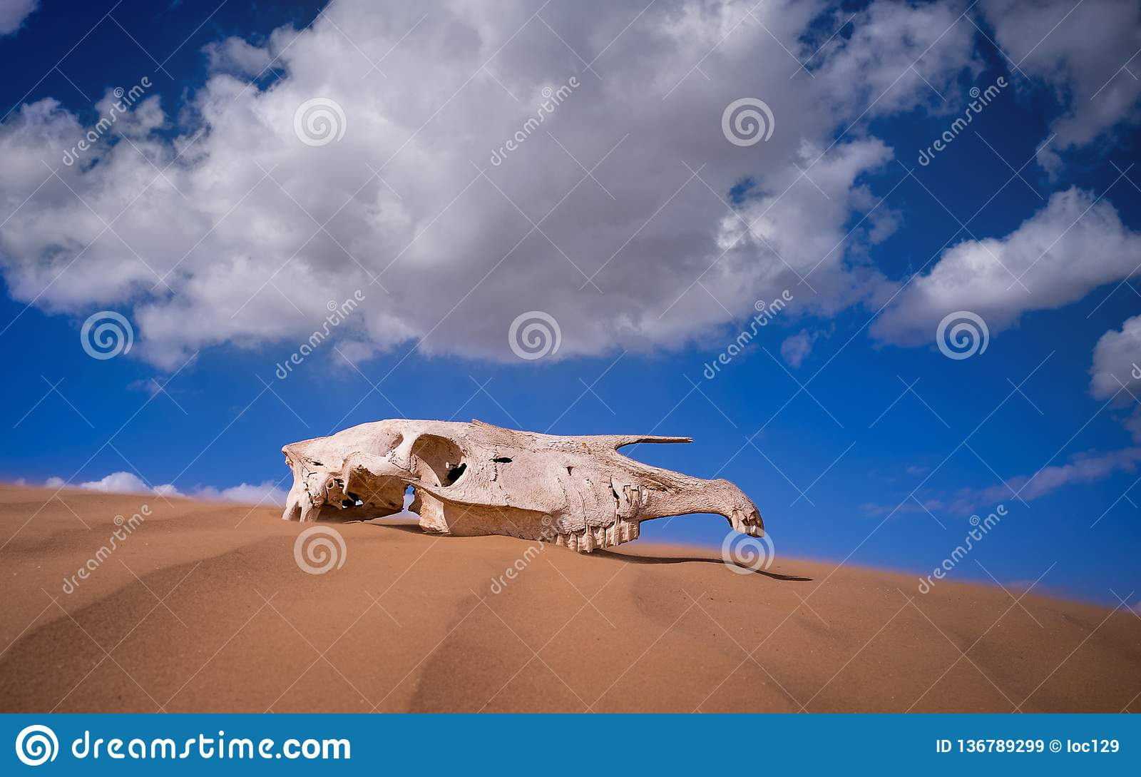 Saiga skull in the desert. animals of the red book. Sunny day