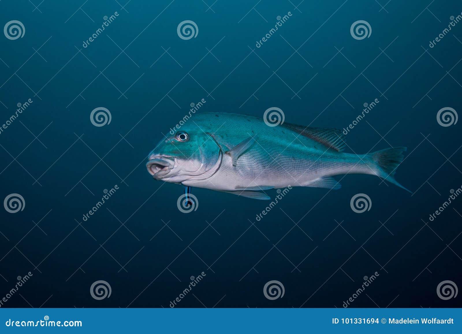 Sailfin Rubberlip / Sweetlip fish isolated swimming in open water.