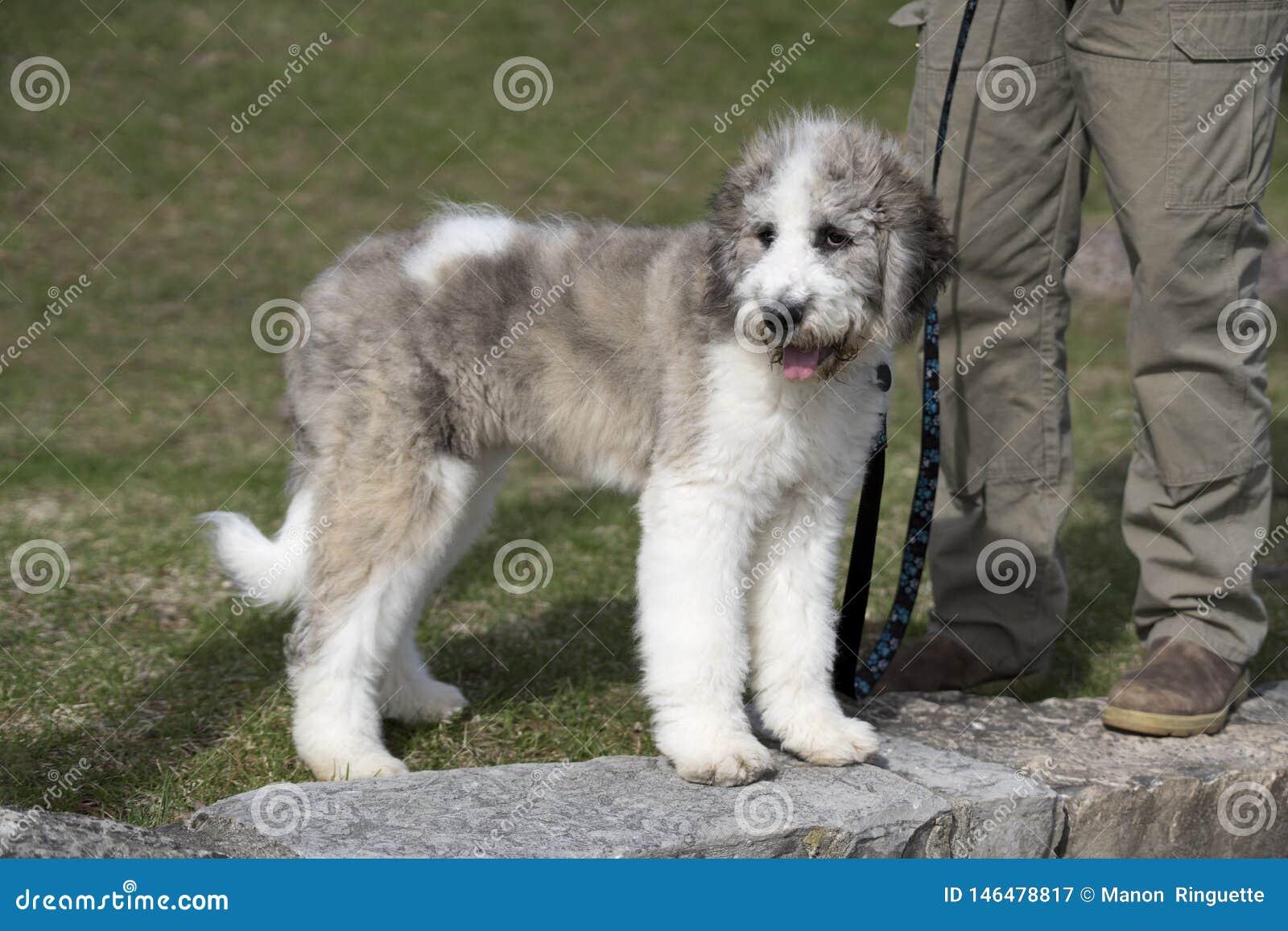 Saint Berdoodle Puppy Tri Colour Stock Image Image Of