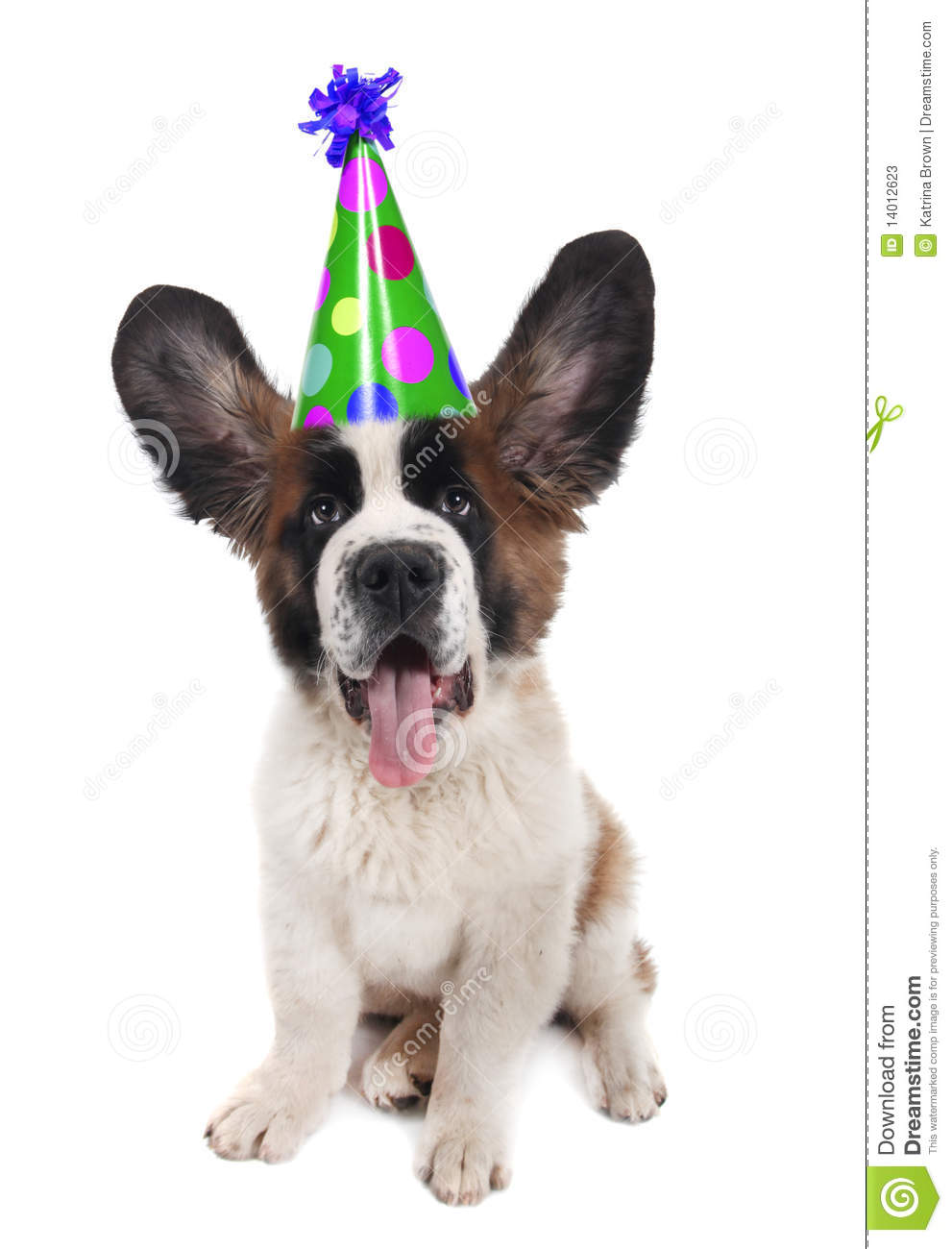 Saint Bernard With A Birthday Hat Stock Photos Image