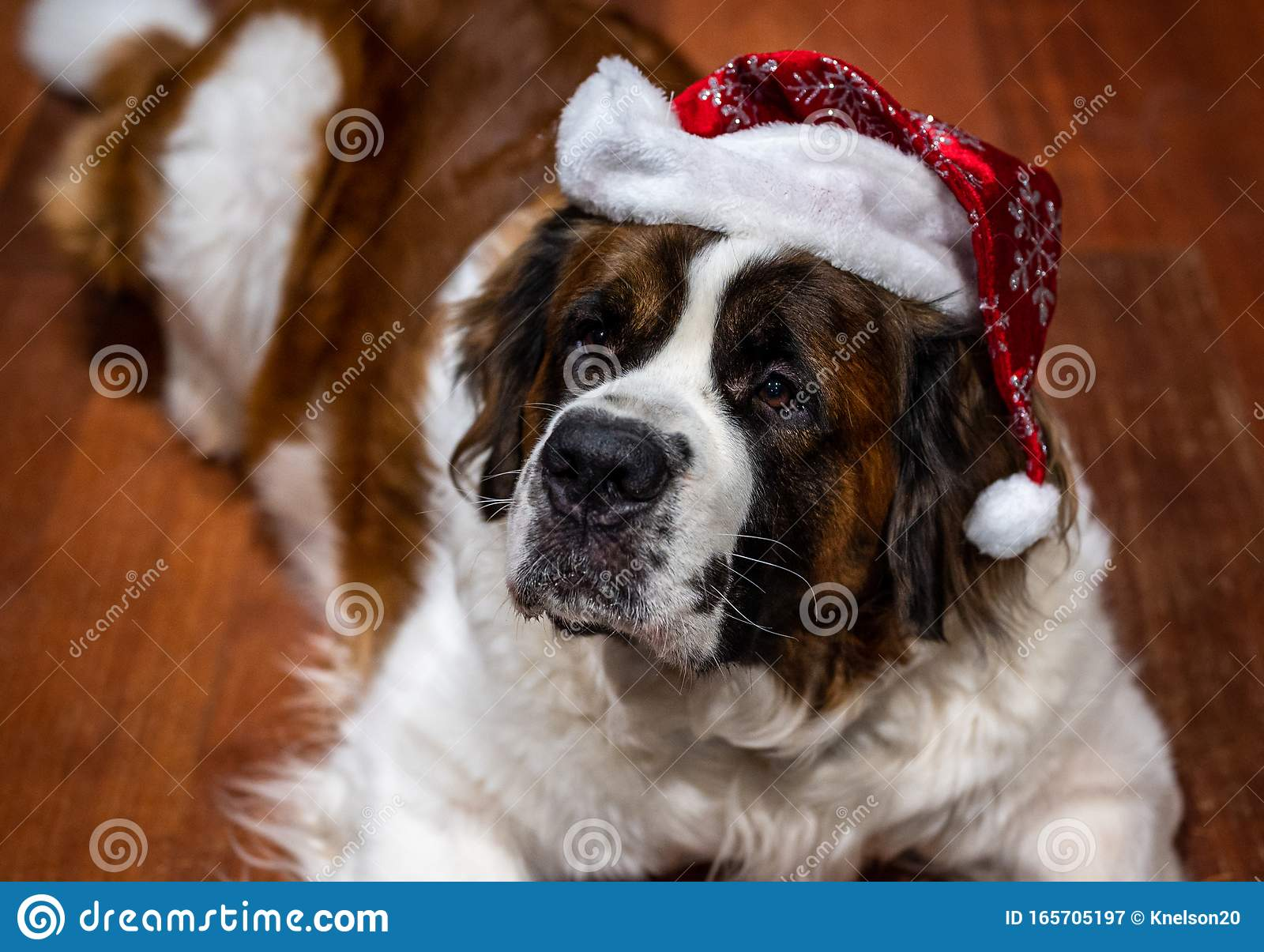 Saint Bernard Dog Laying On Kitchen Floor With Santa Hat On Head And Looking Up Stock Image Image Of Holiday Brown 165705197