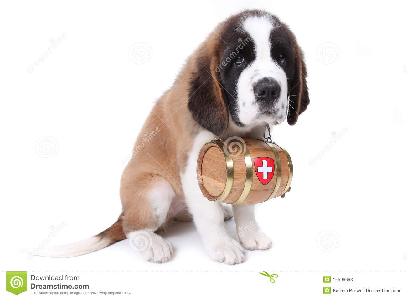 A Saint Bernard Puppy With Rescue Barrel Stock Image