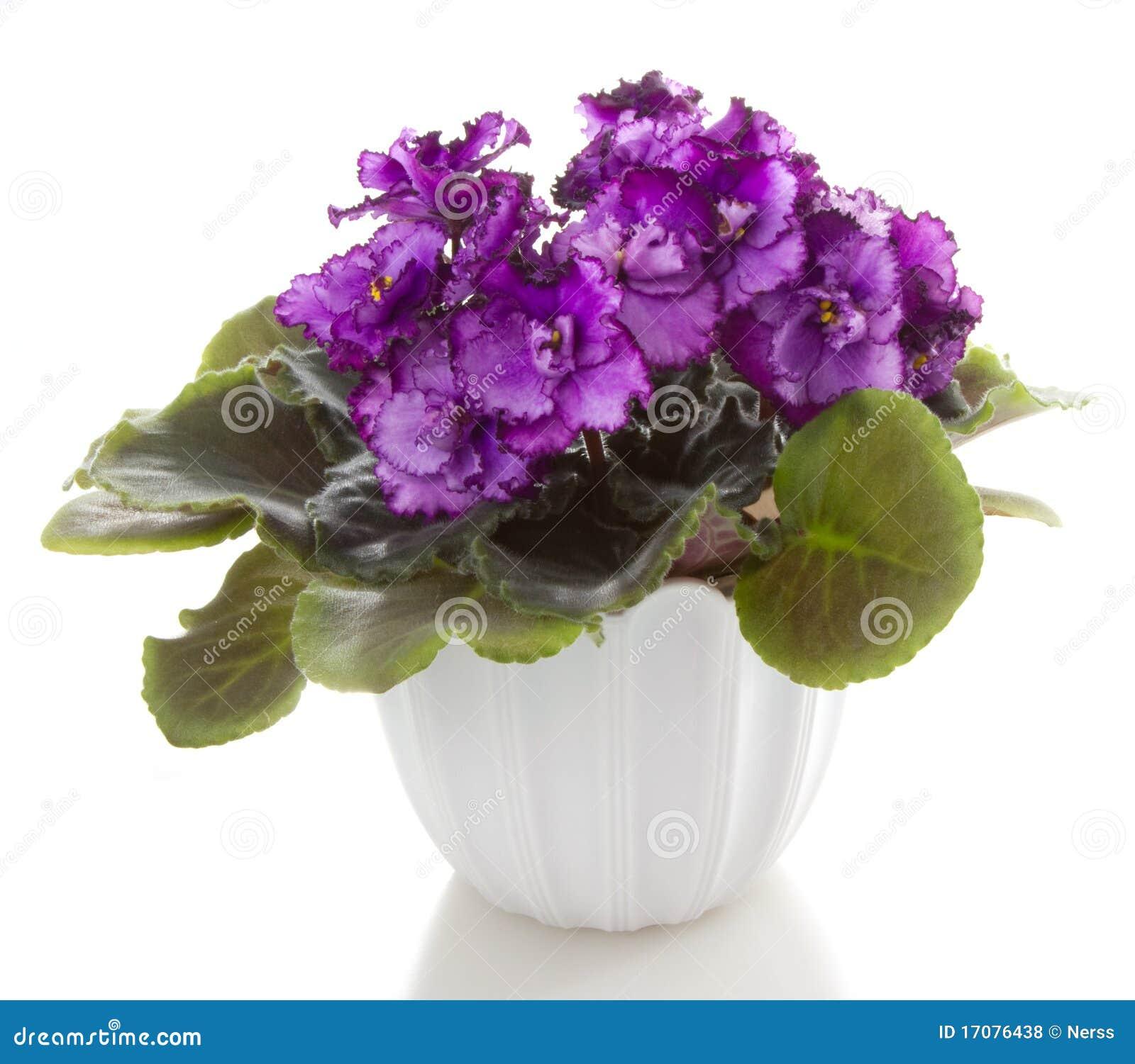 Saintpaulia бака цветков цветка