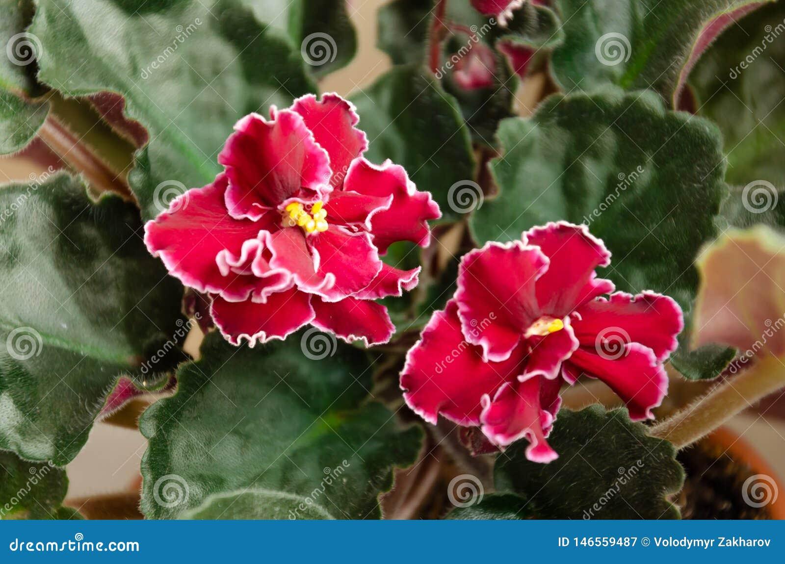Saintpaulia de florescência, conhecido geralmente como a violeta africana Planta Potted