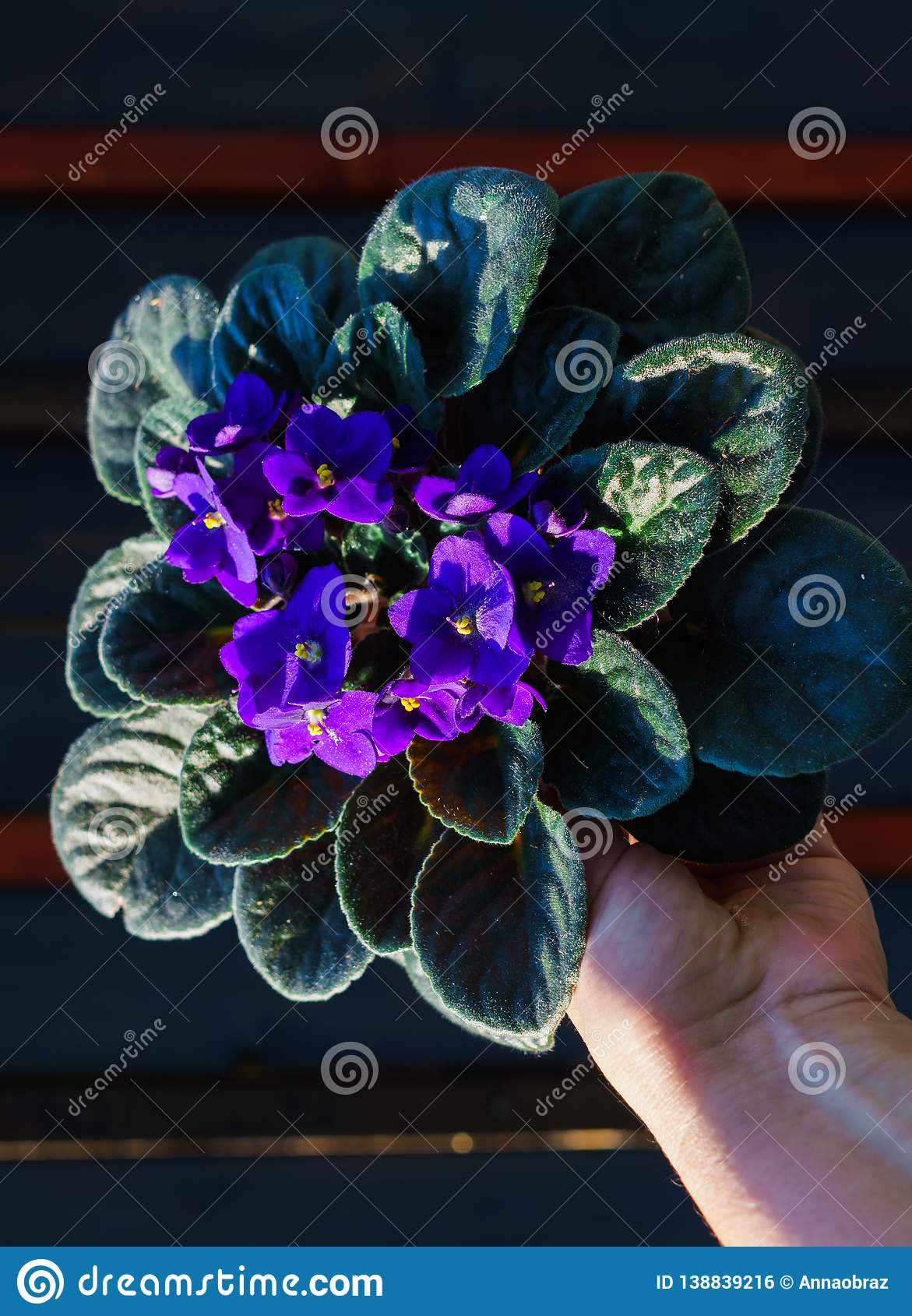 Saintpaulia,Purple African violet in a flowerpot on the background of wood planks