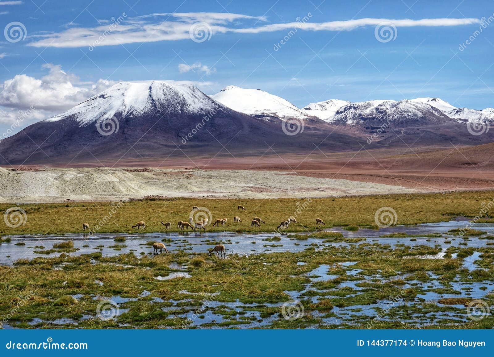 Saison de flamant dans Uyuni, Bolivie
