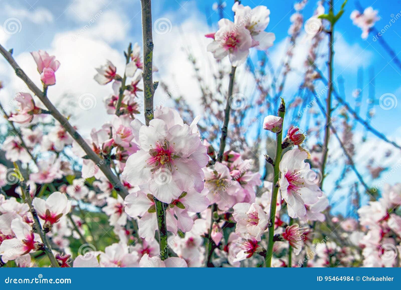 Saison de fleur d amande