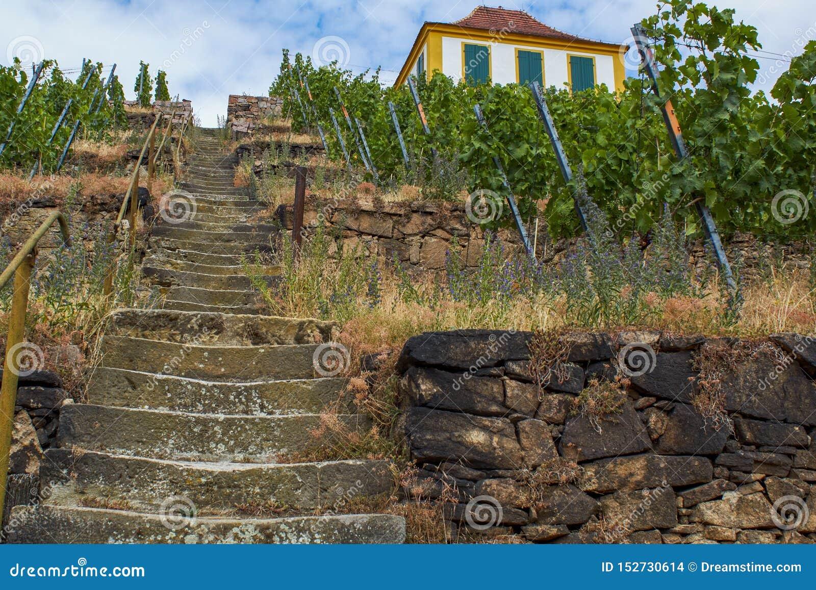Saksische wijngaard in de vallei van Elbe