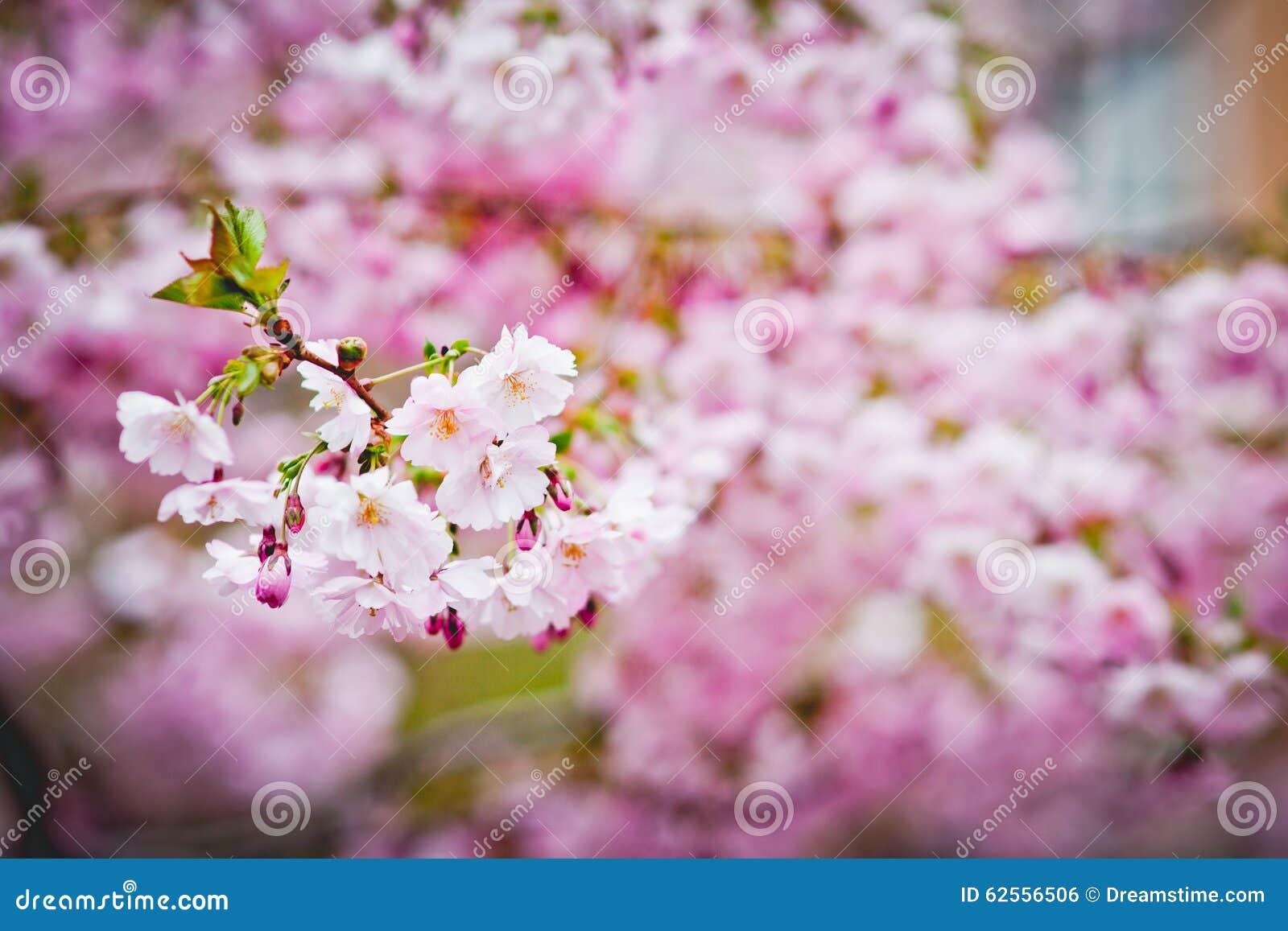 Sakura άνθισης