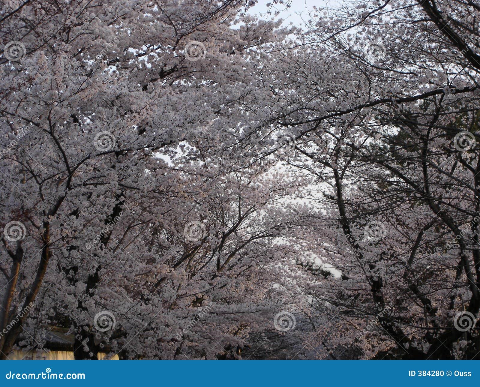 Sakura αλεών