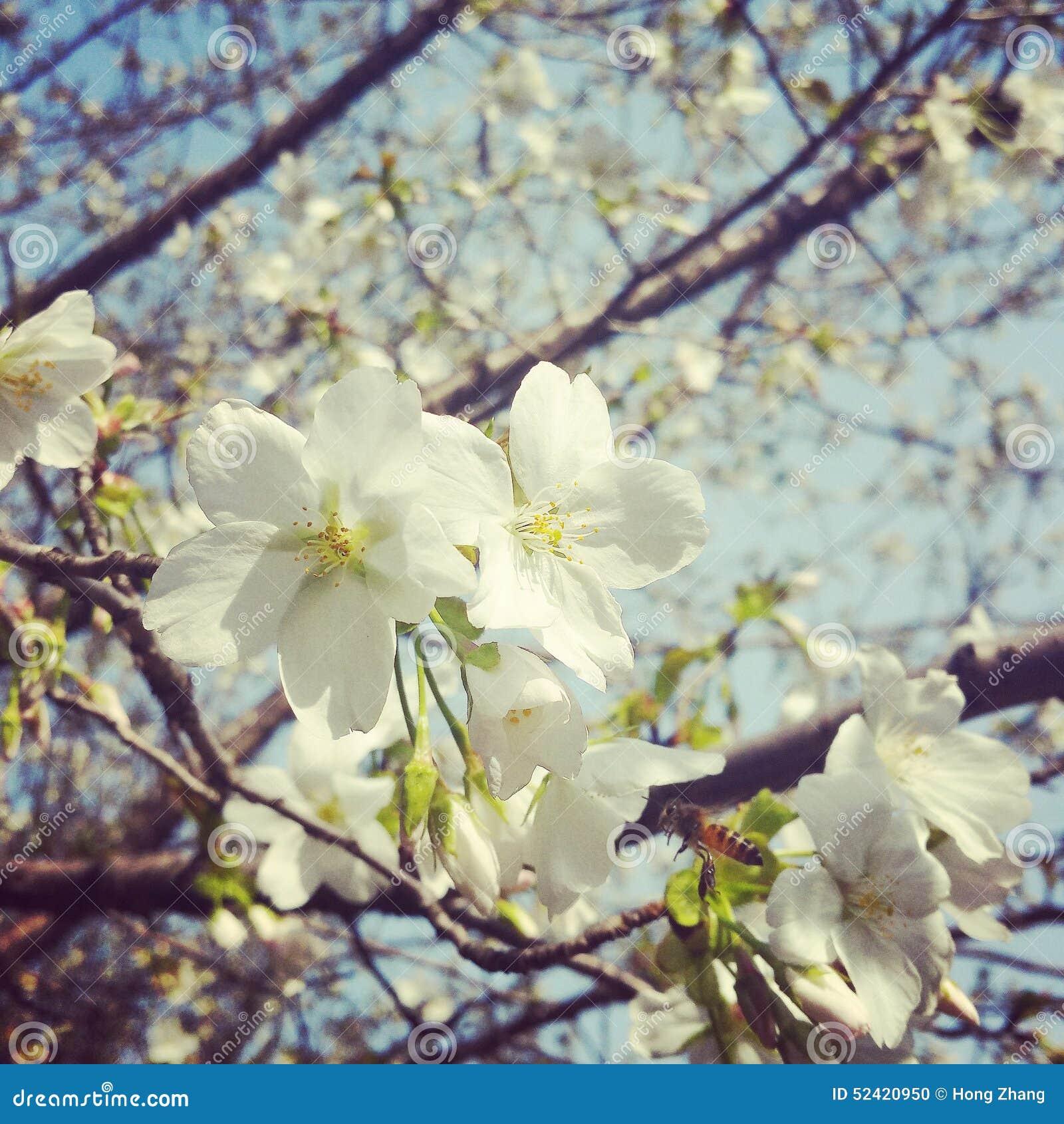 Sakura και μέλισσα