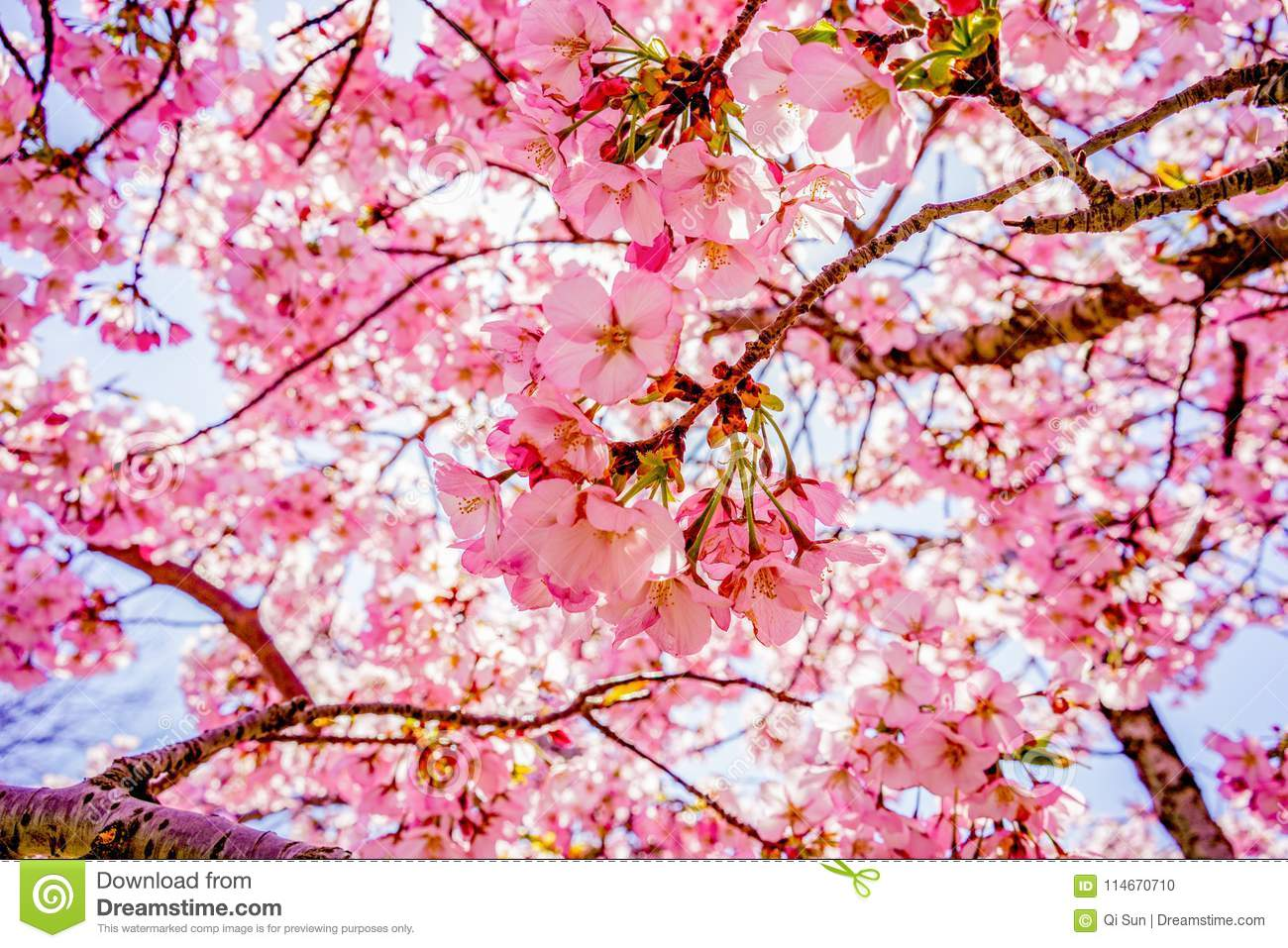 Sakura Of April In Washington, Dc, United States Stock Photo