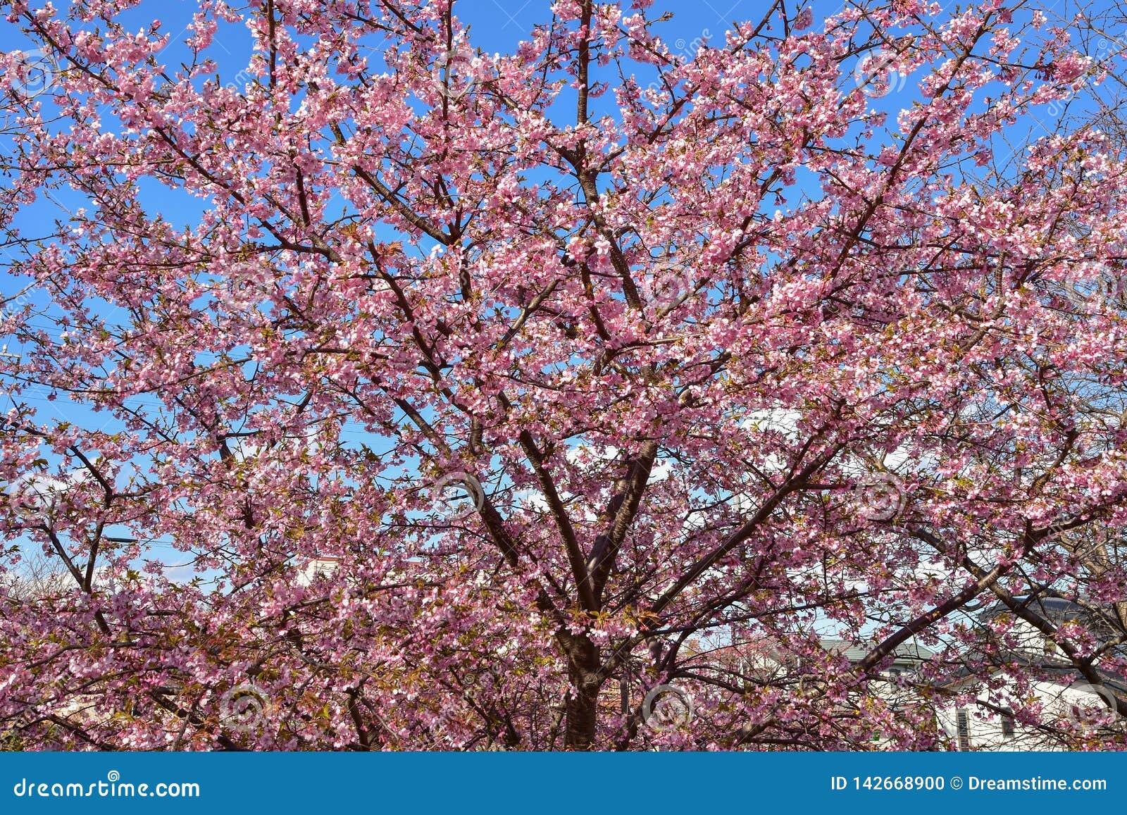 Sakura blomning i Japan