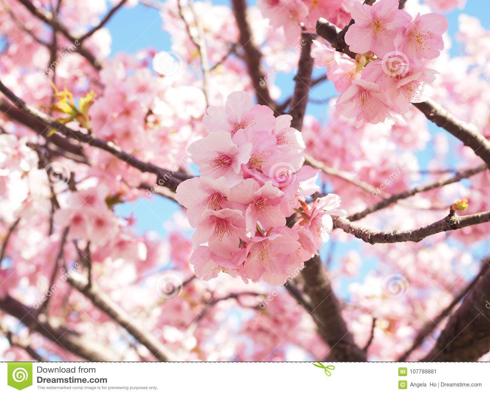 Sakura Blooming schön in Izu Kawazu Japan im Frühjahr