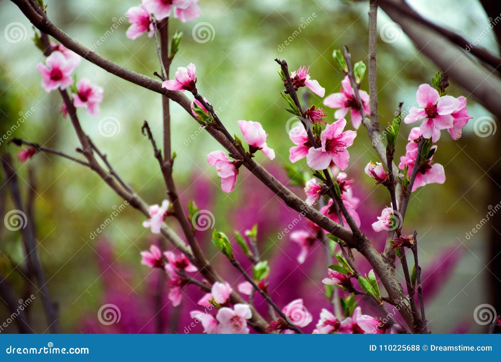 Sakura Blossom Vakantie Khanami Kers
