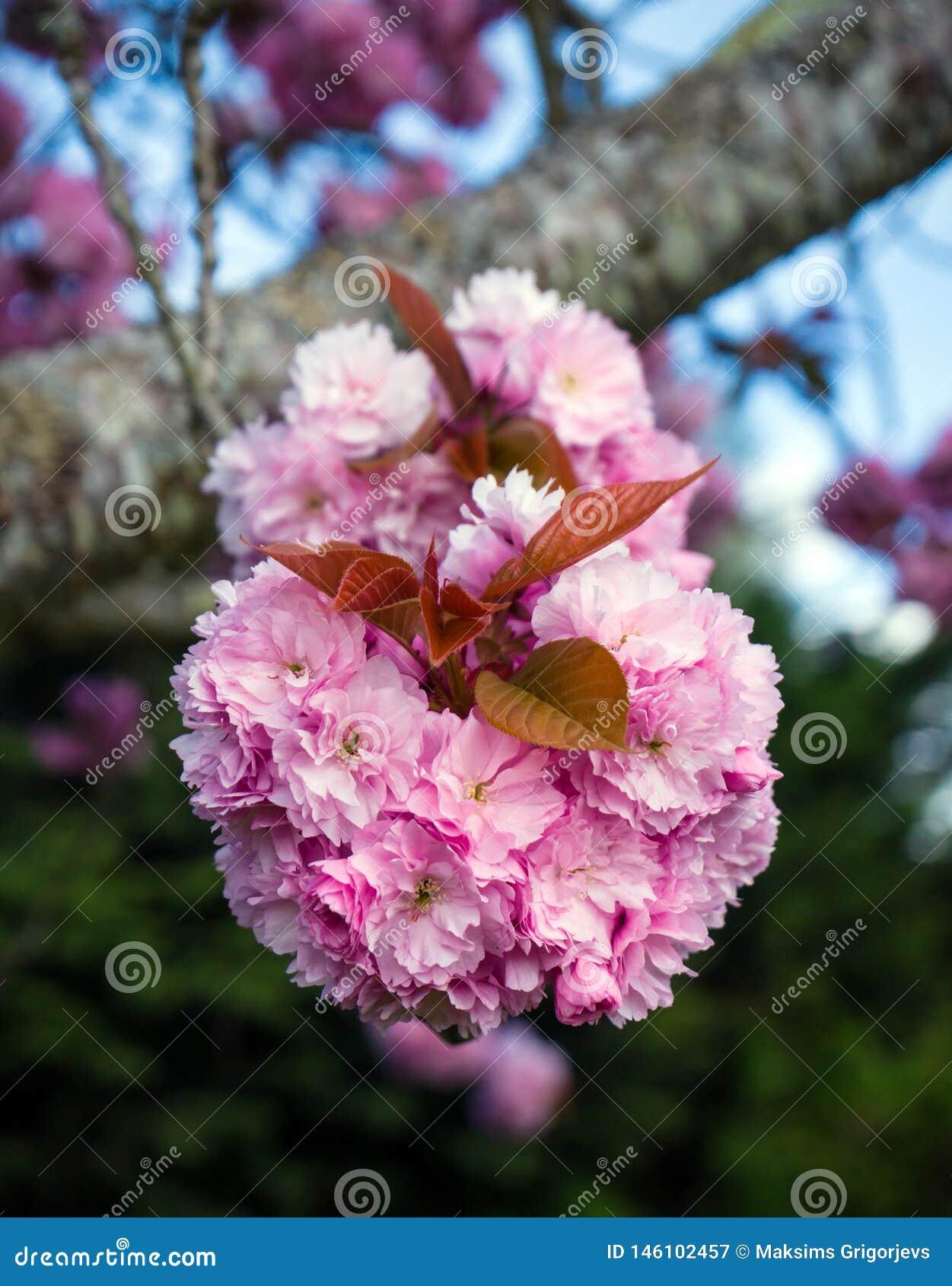 Sakura Cherry blüht Baum in voller Blüte