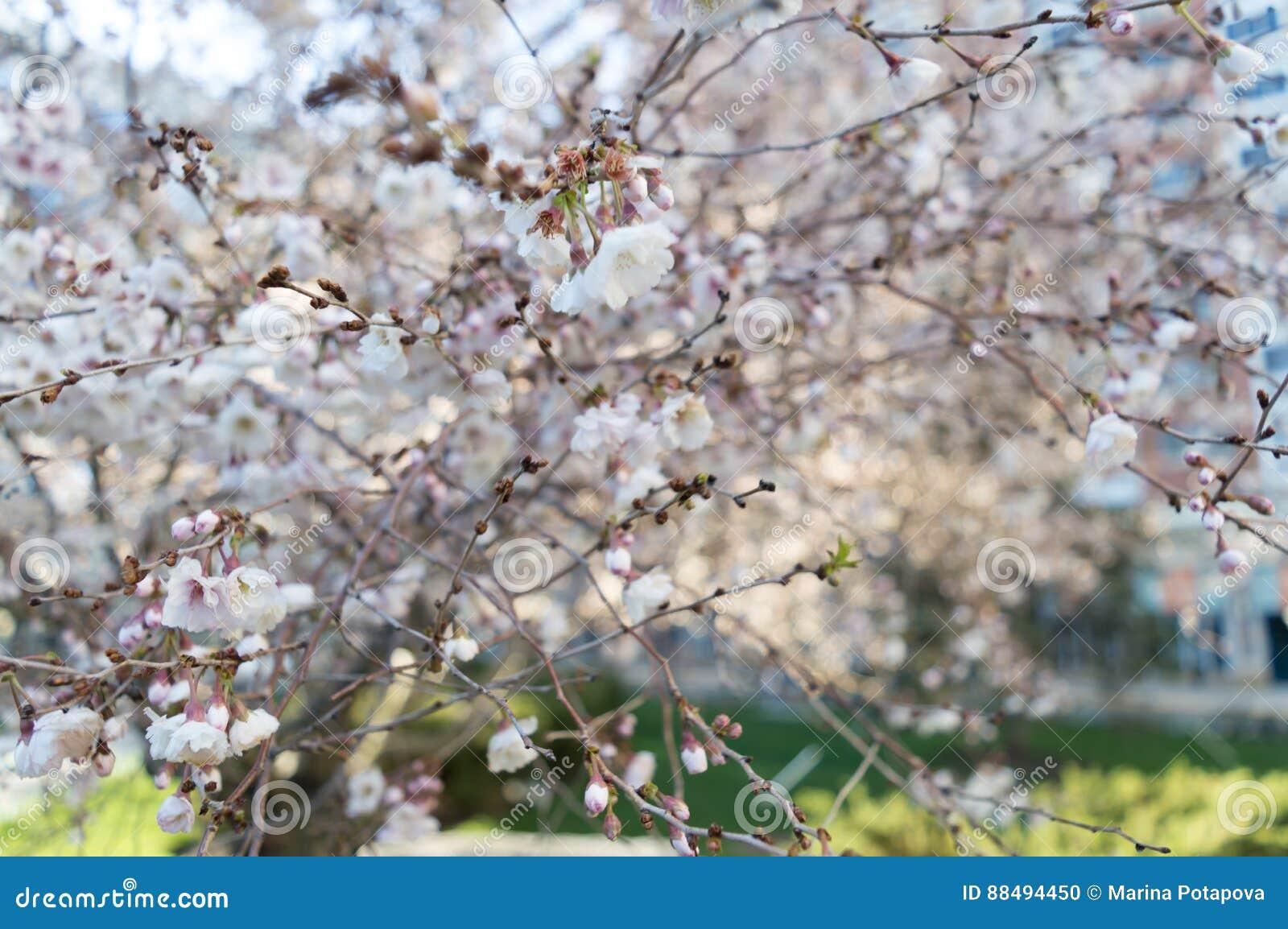Sakura Or Cherry Blossom Flower Tree Full Bloom In Spring Season
