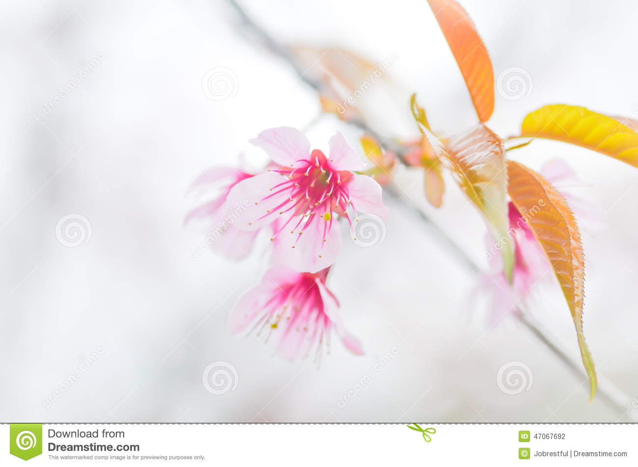 Wild Himalayan Cherry Blossom Stock Photography
