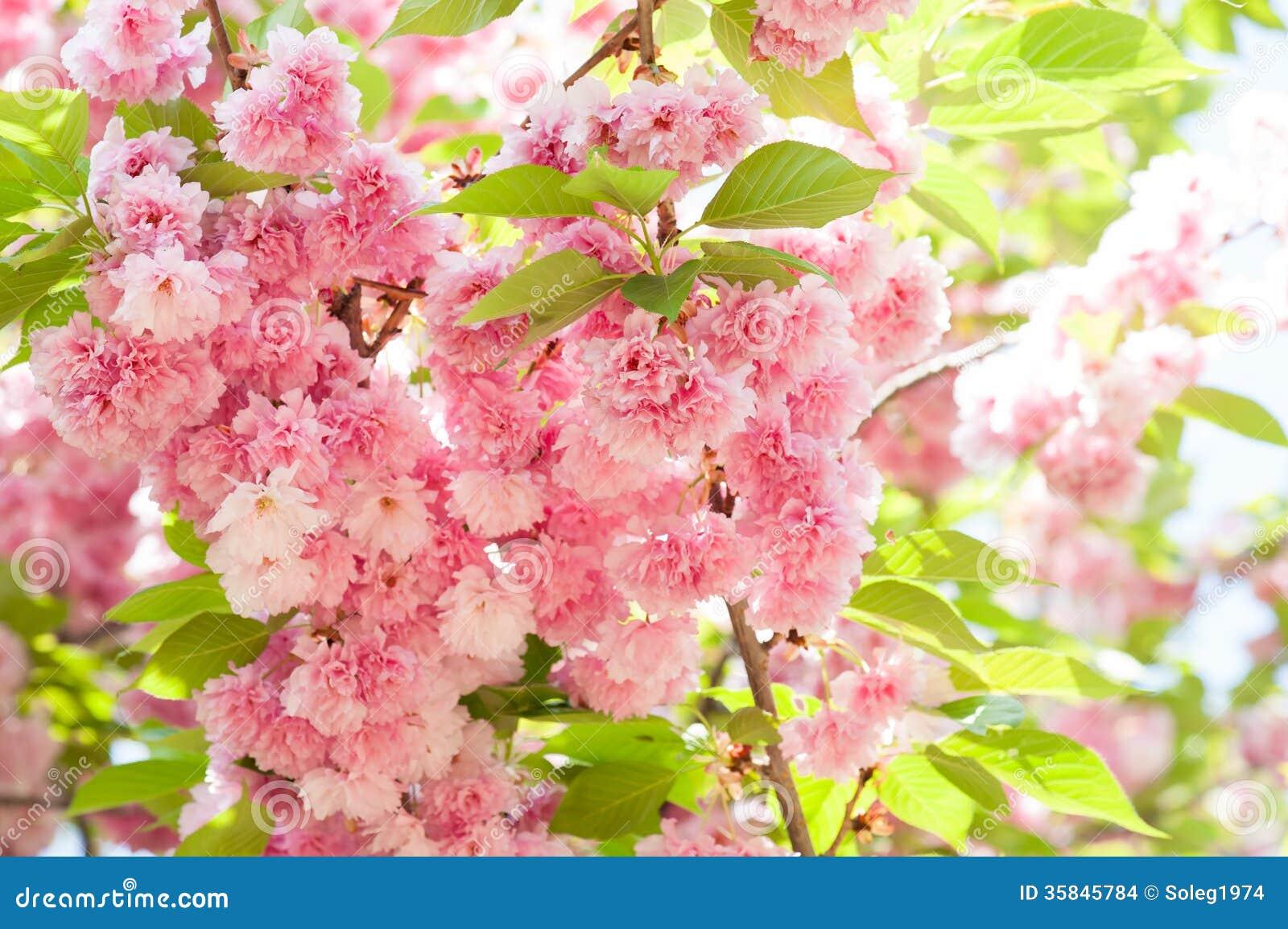 Sakura Cherry Blossom In Spring Stock Photo Image Of Branch