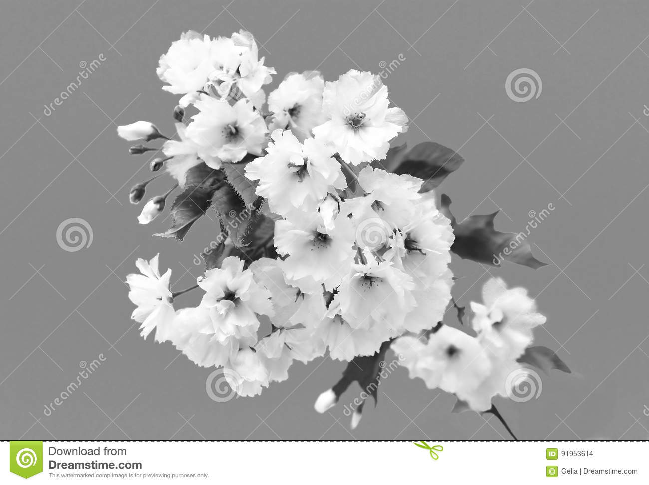 Cherry Blossom In Springtime Beautiful White Flowers Black And Filter