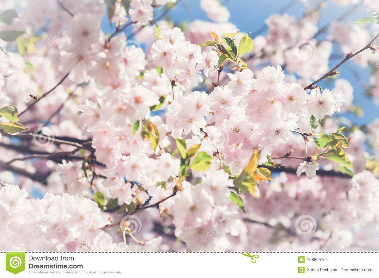 Sakura Cherry Blossoms Japan Pink Spring Blossom Background Stock