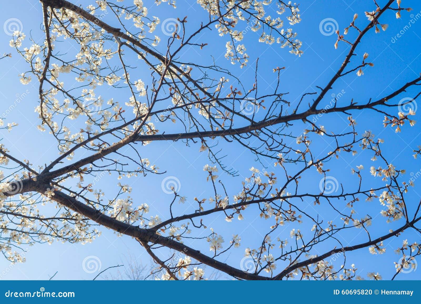 Sakura Blossoms Melbourne Review