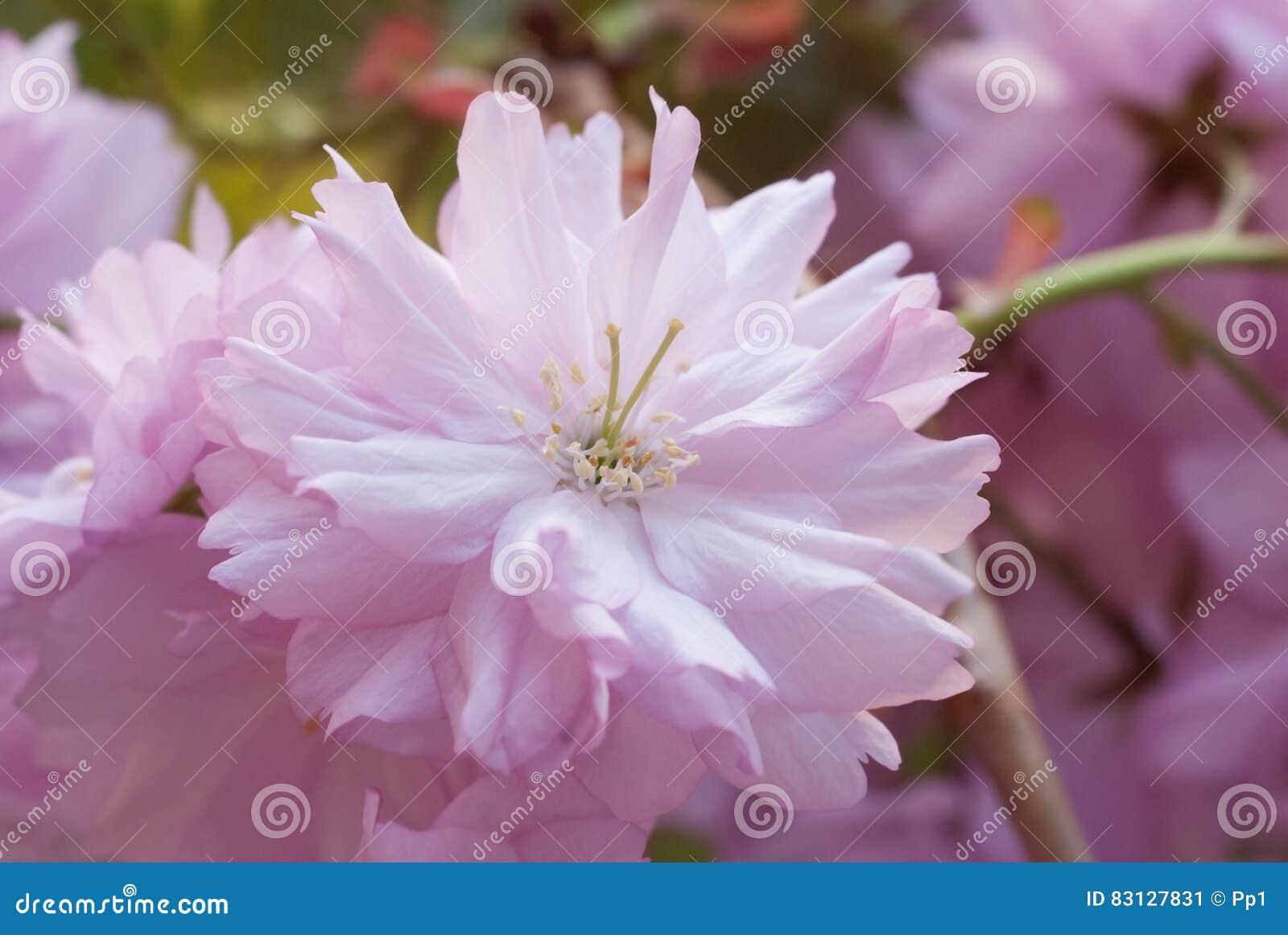 Sakura Chinese Japan Cherry Tree Pink Flower Bloom Blossom Spring