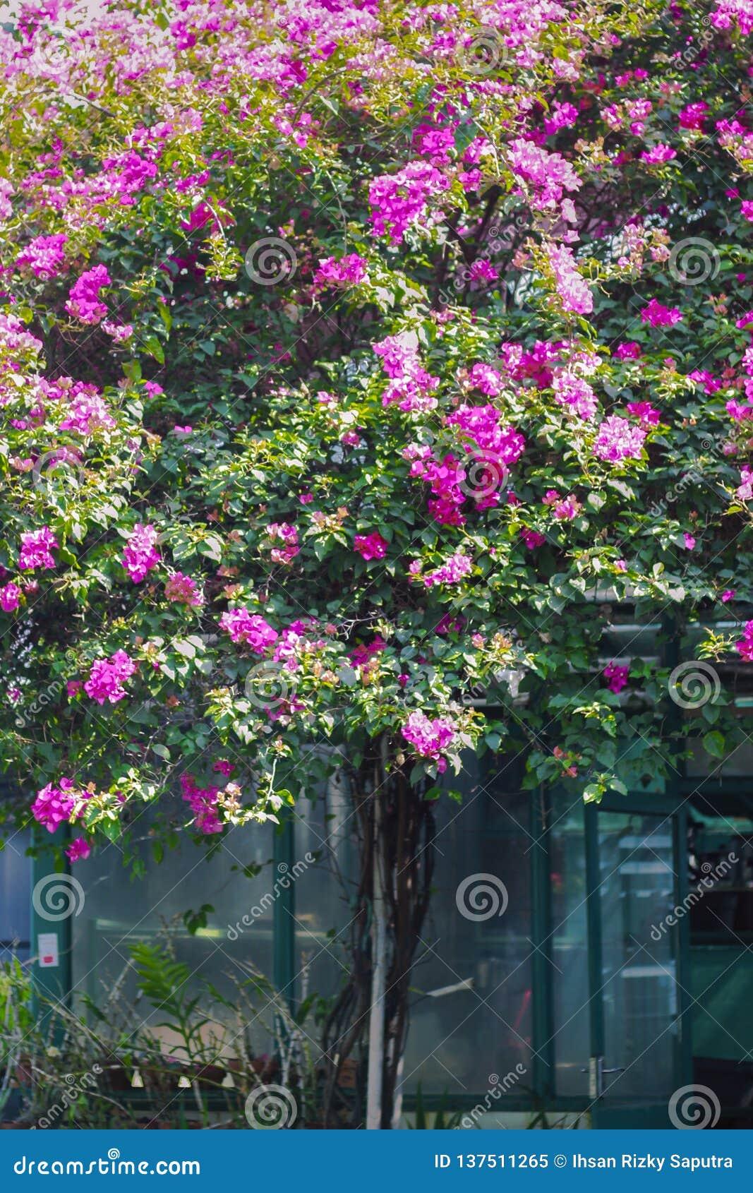 Sakura drzewo na parku