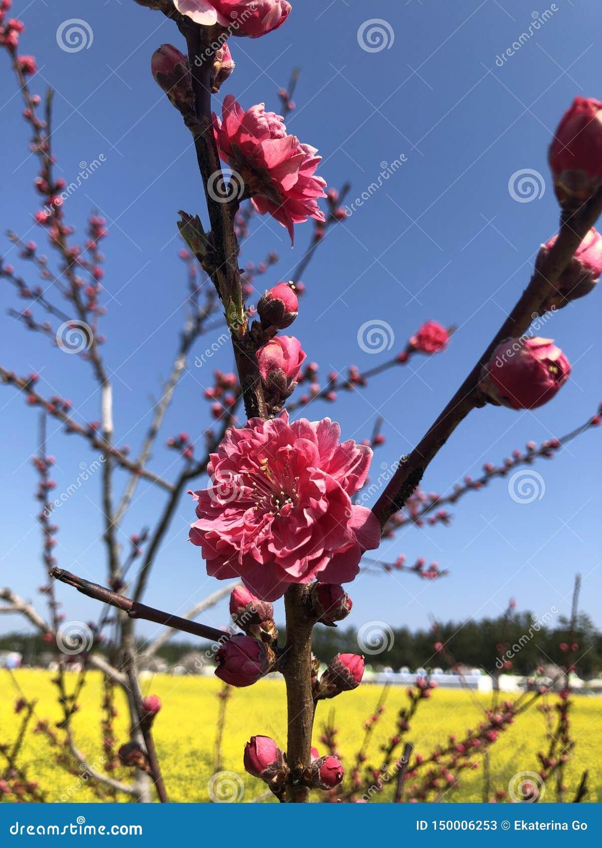 Sakura eller körsbärsröd blomning i Korea