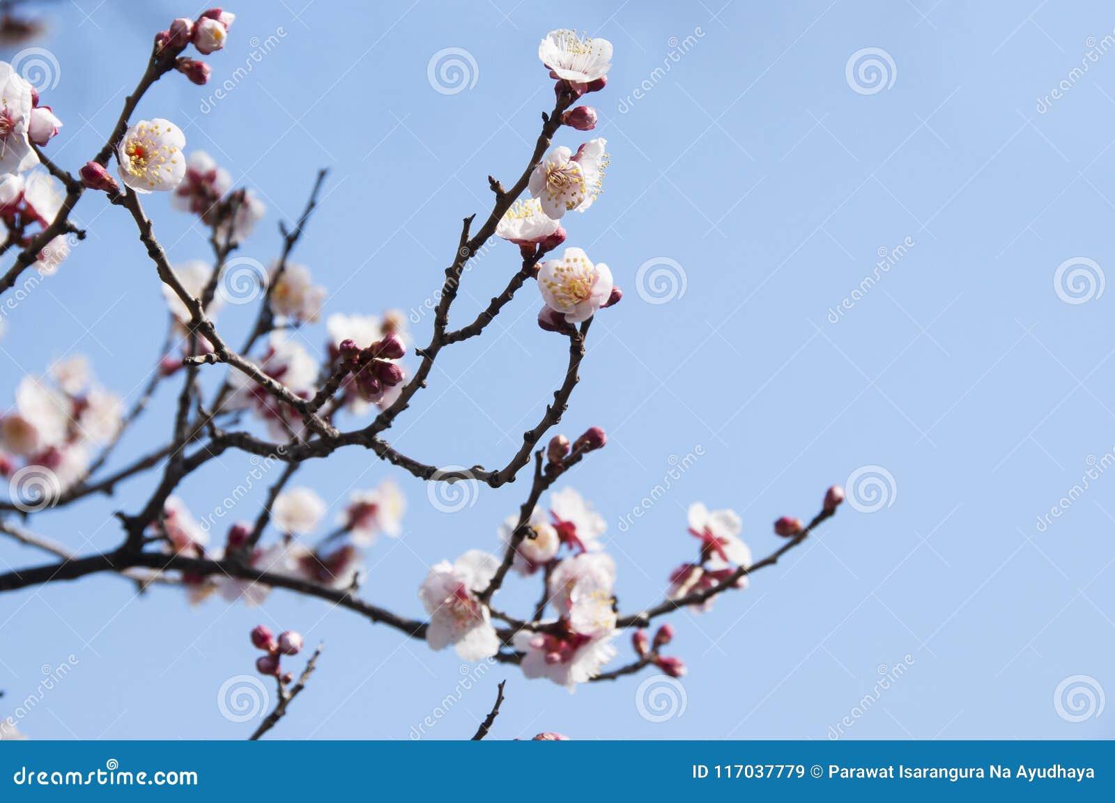 Sakura Fleur De Fleurs De Cerisier Avec Le Ciel Bleu A Tokyo Japon