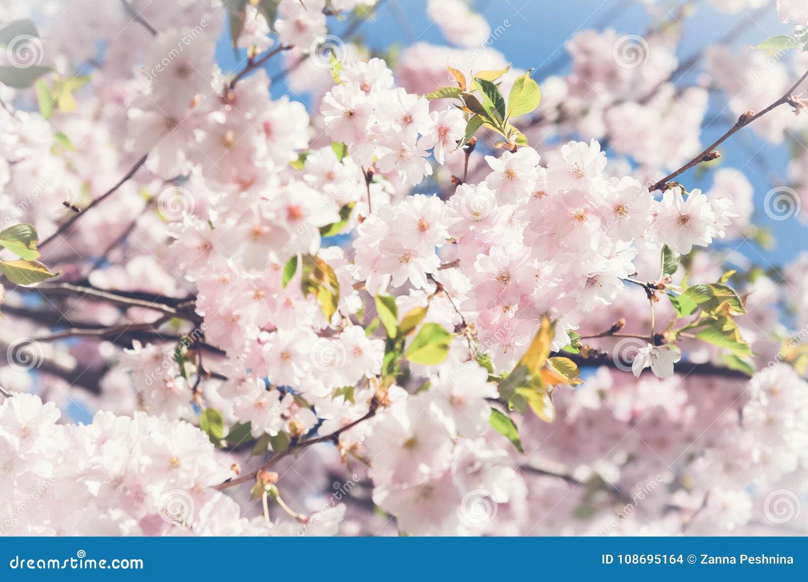Sakura Fleurs De Cerisier Japon Fond Rose De Fleur De Ressort Photo