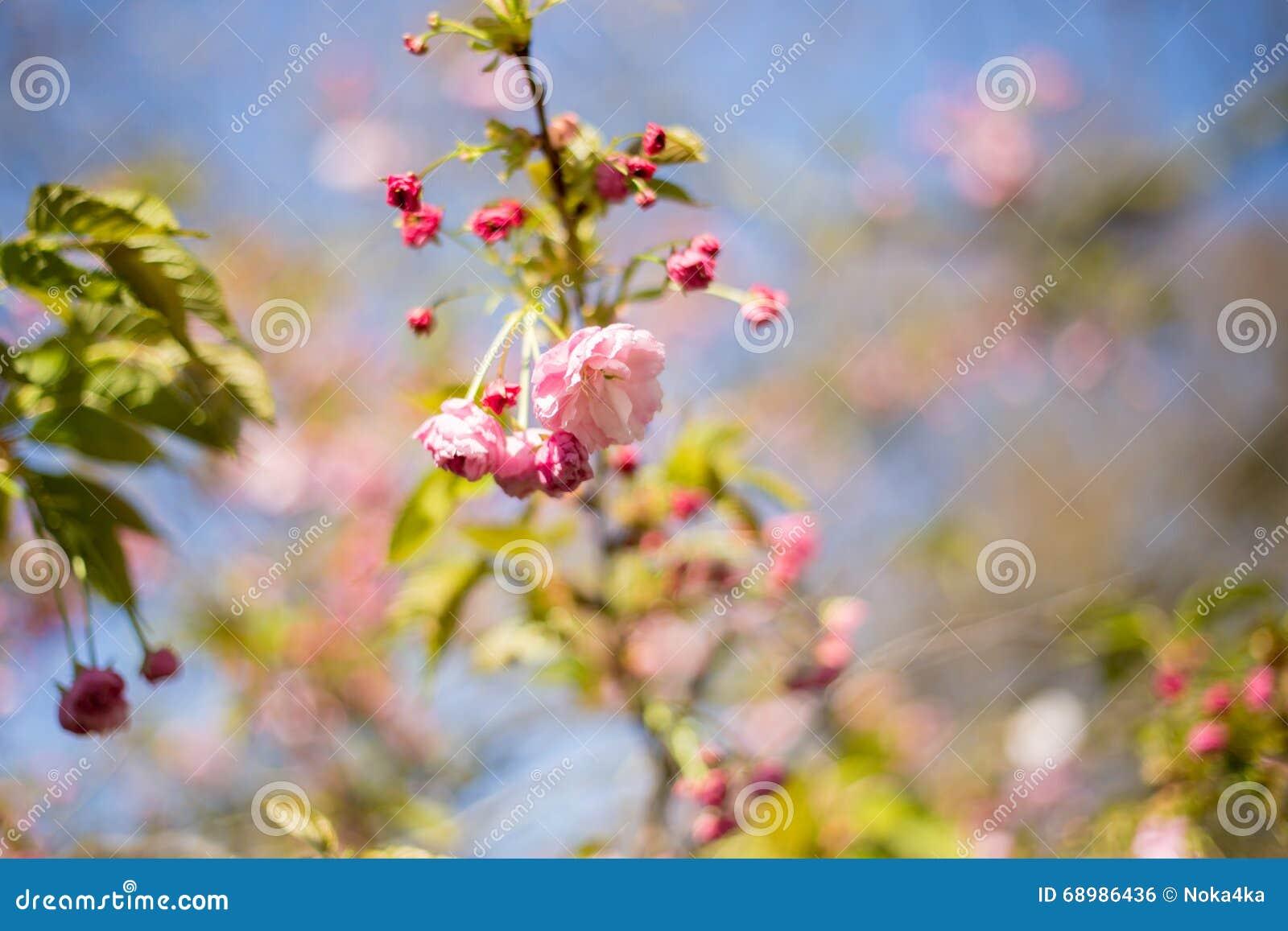 Sakura Flor de cerezo en primavera