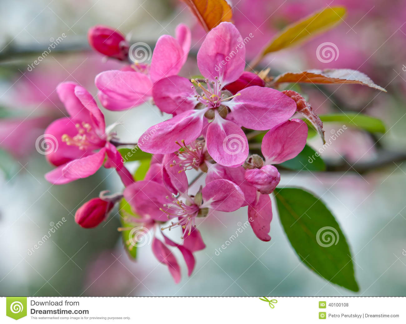 Sakura Flower Stock Illustration Image