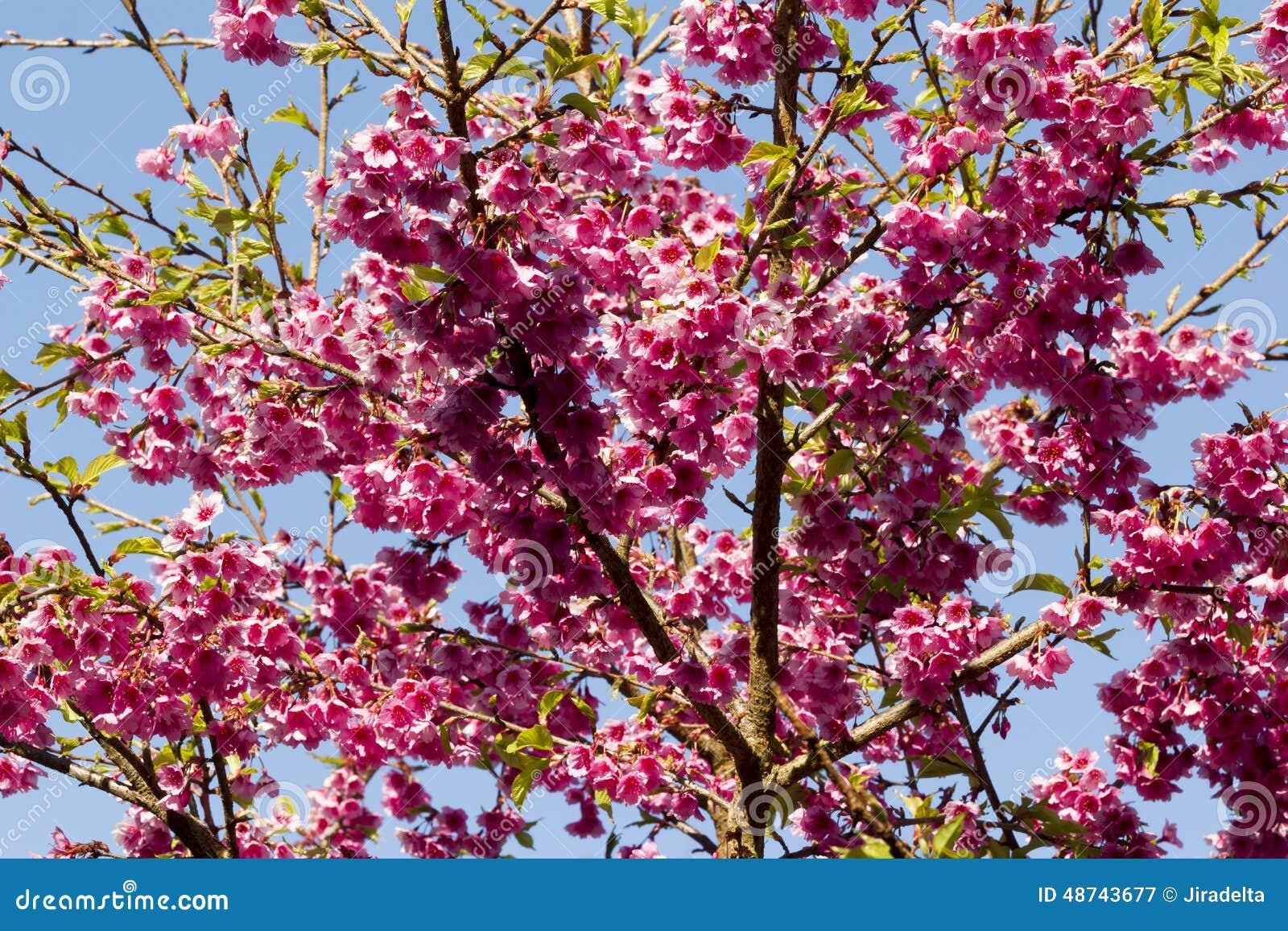 Sakura Flower In Garden Stock Photo Image 48743677