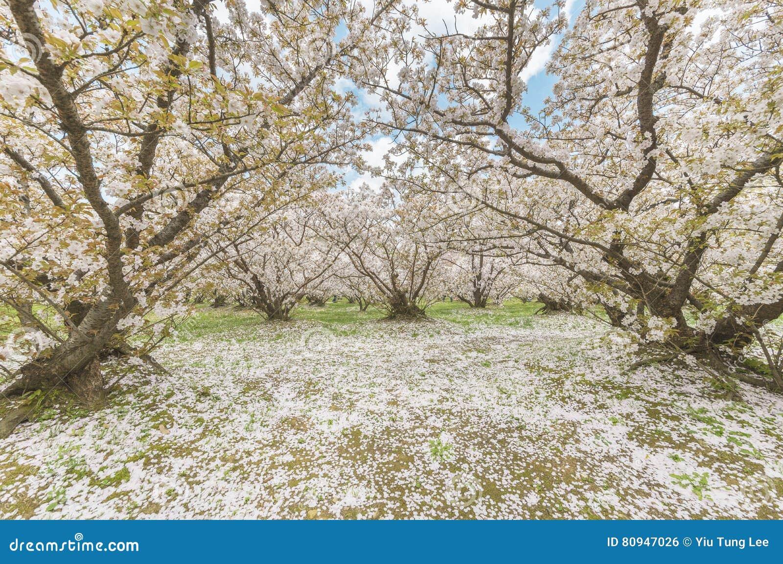 Sakura Flower In Japanese Garden Stock Photo Image Of Grass