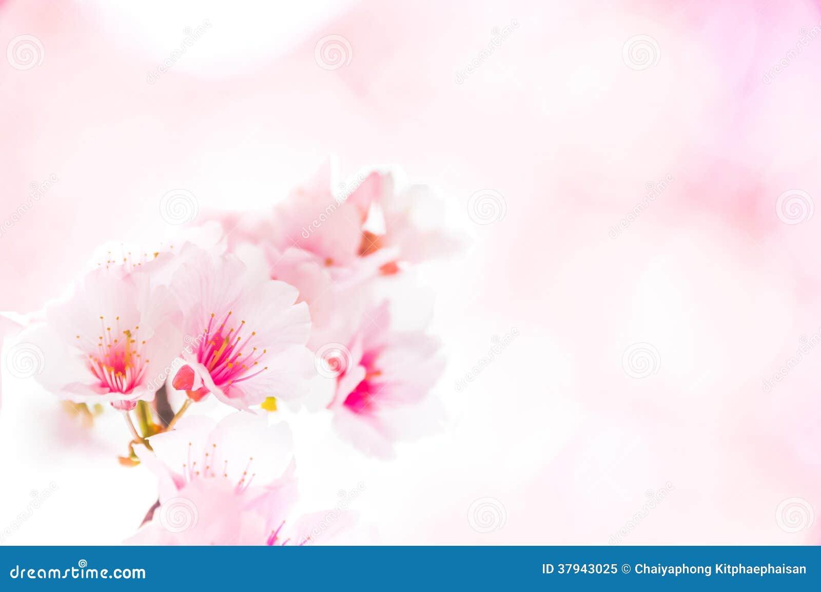 Sakura Flower Template Royalty Free Stock Photo - Image ...