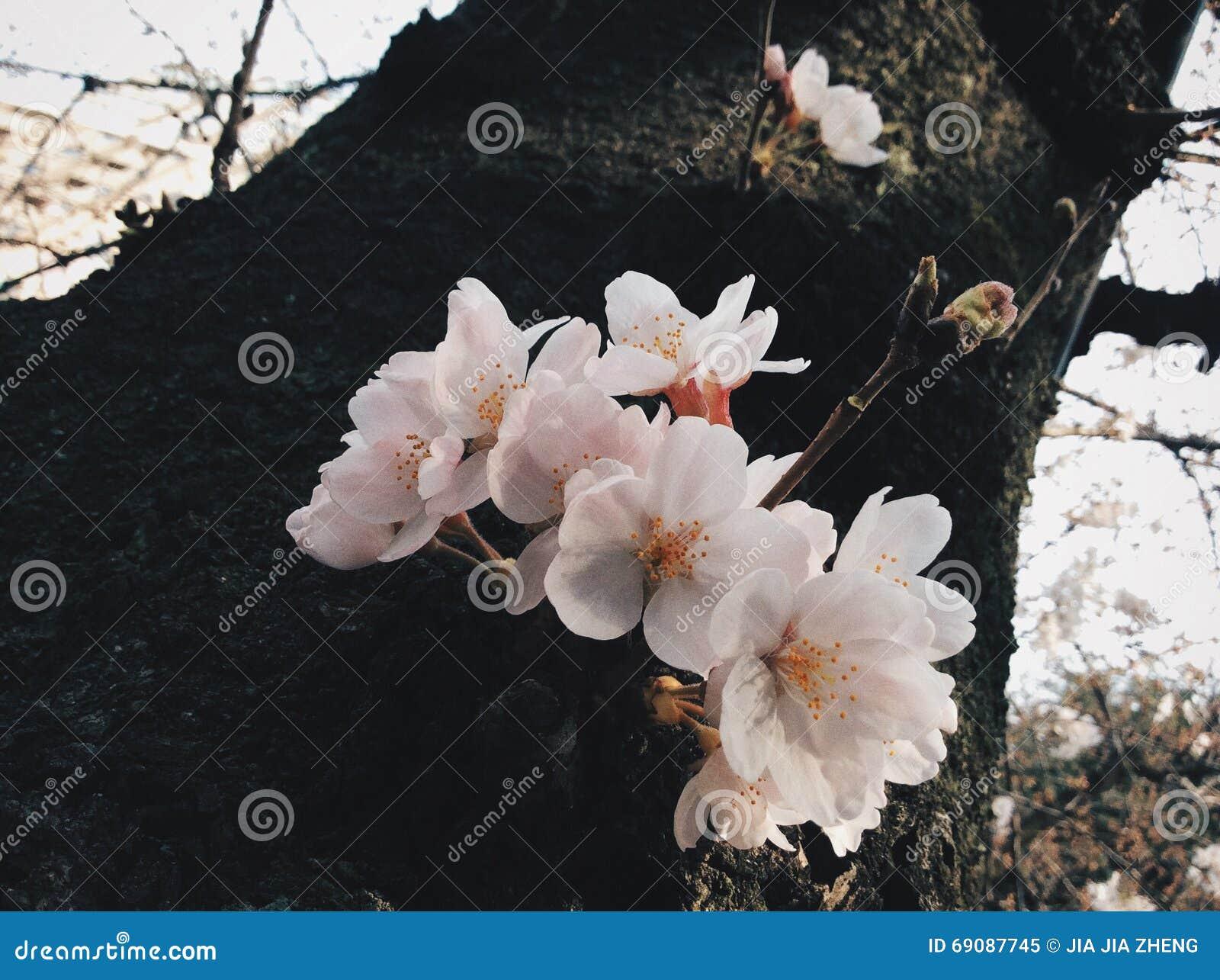 Sakura i japan