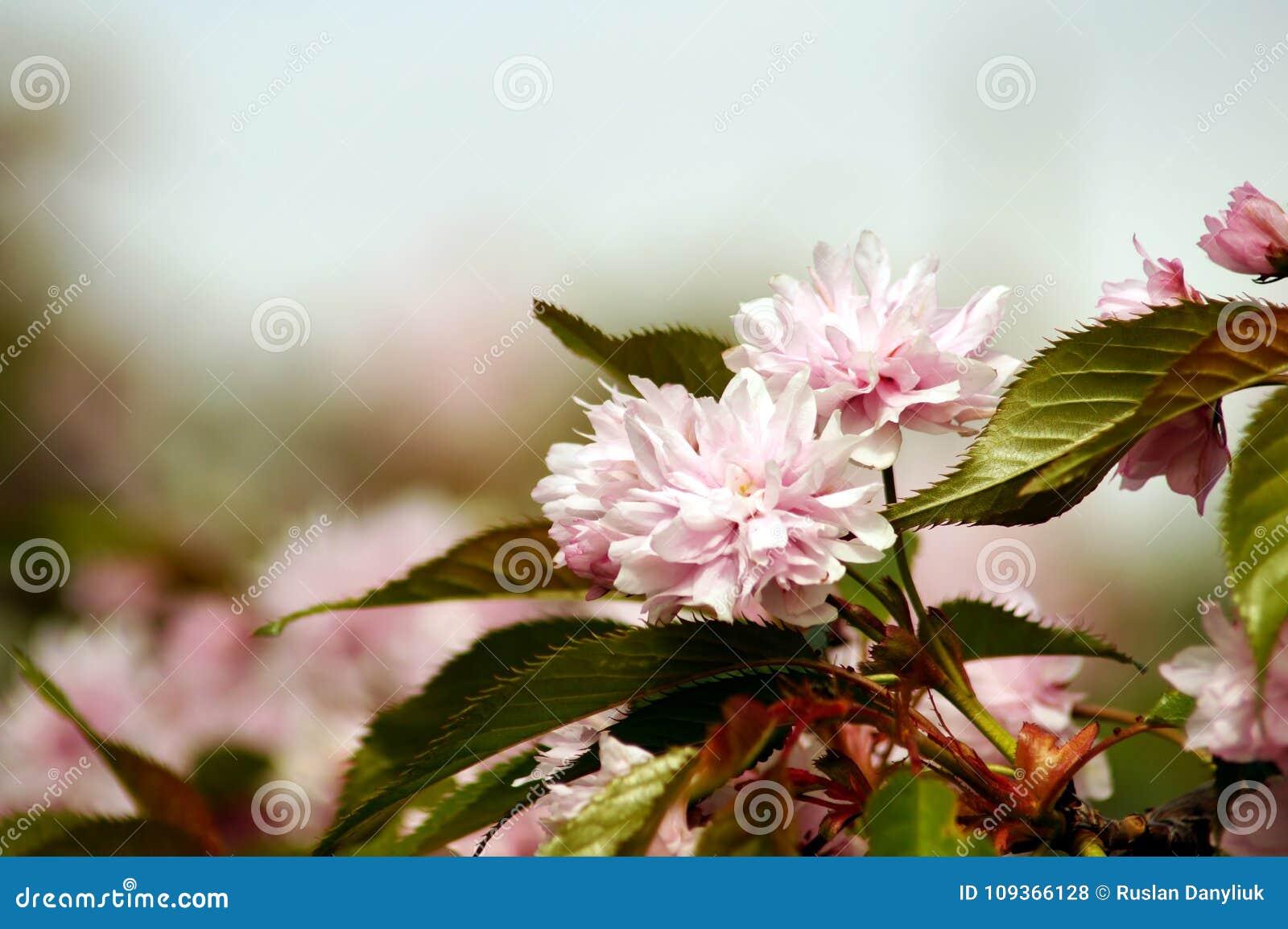 Sakura Japanese Cherry Blossom Flower Bloom In Spring Season Stock