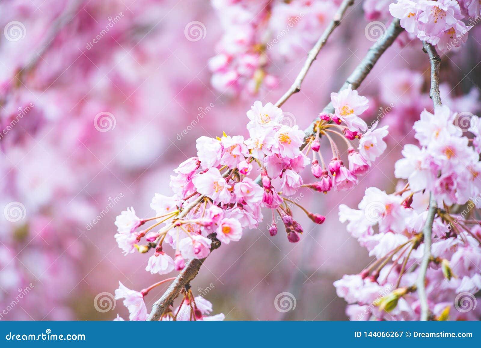 Sakura in kleuren