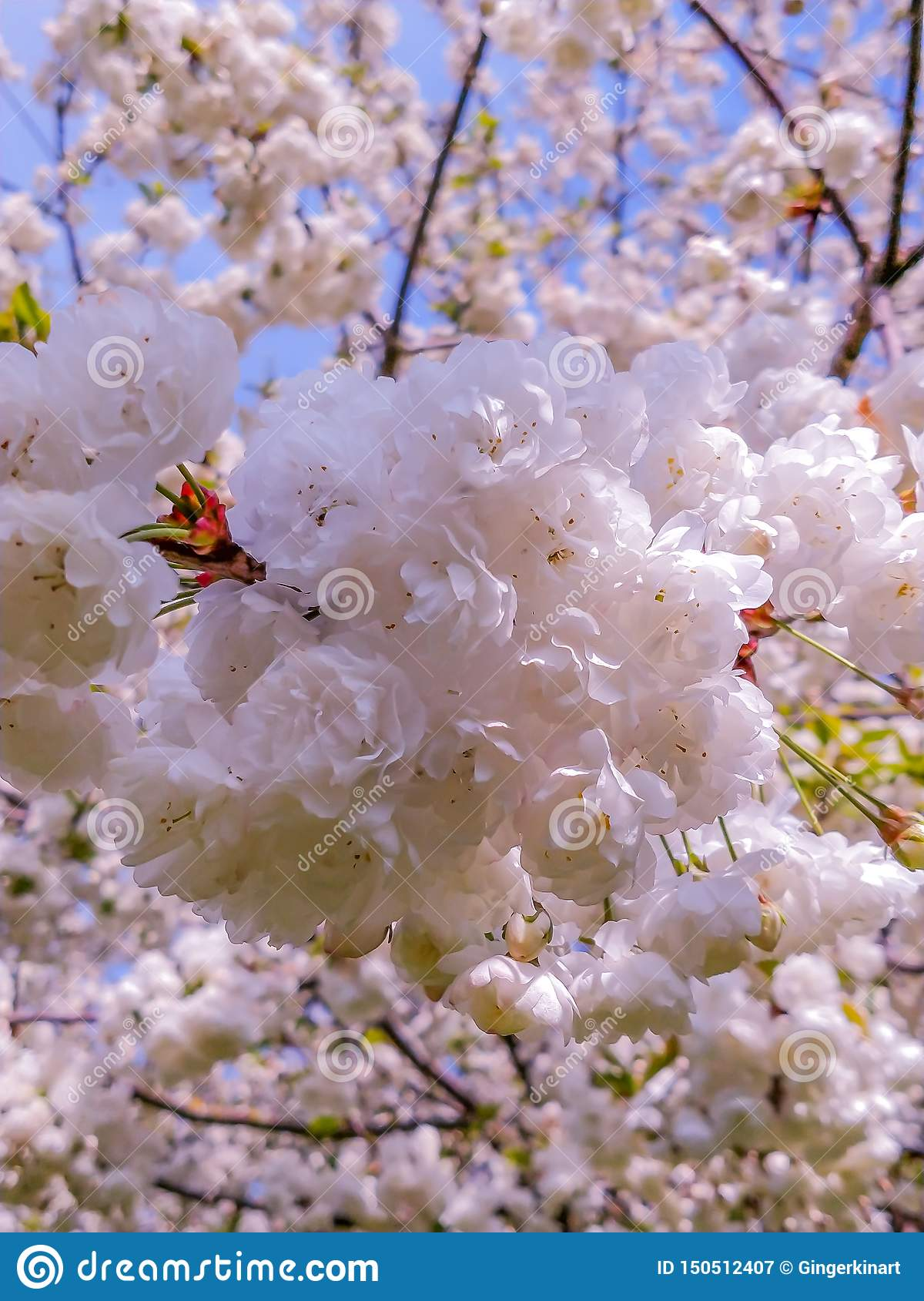 Sakura kwitnie przy wschód słońca