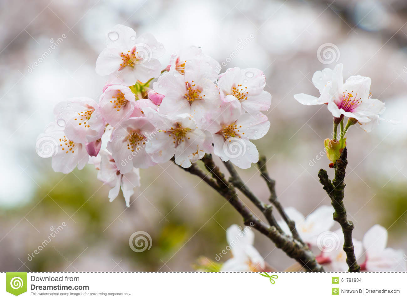 Sakura The Most Beautiful Flower In Japan Stock Photo Image Of