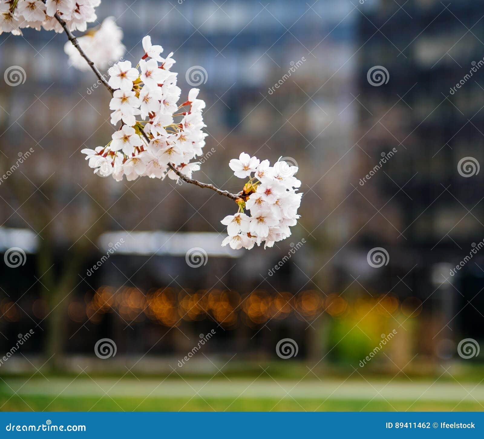 Sakura na flor na árvore do ramo da mola