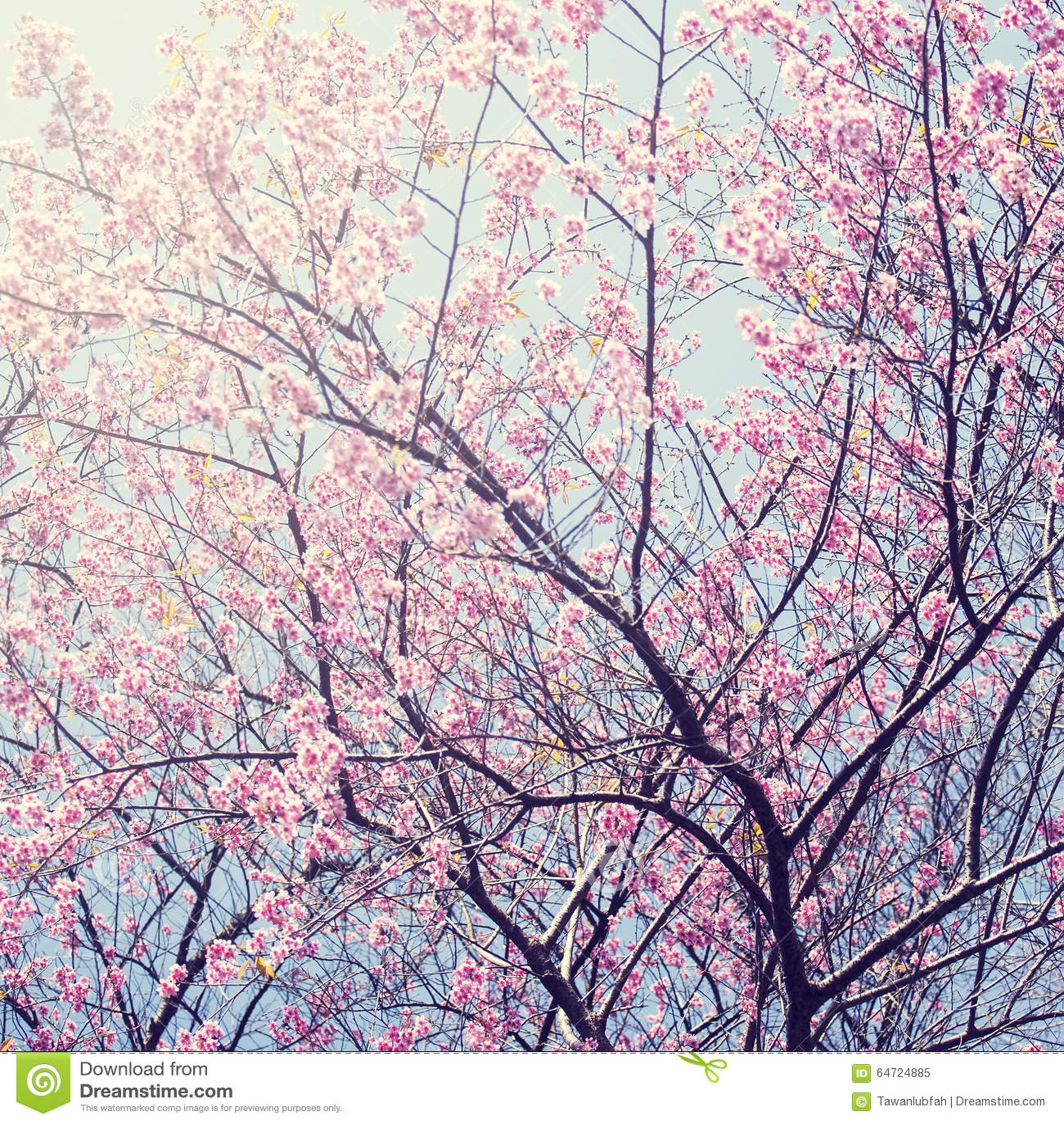 Sakura nell inverno a Doi Kunwang, Chaingmai, Tailandia Annata f