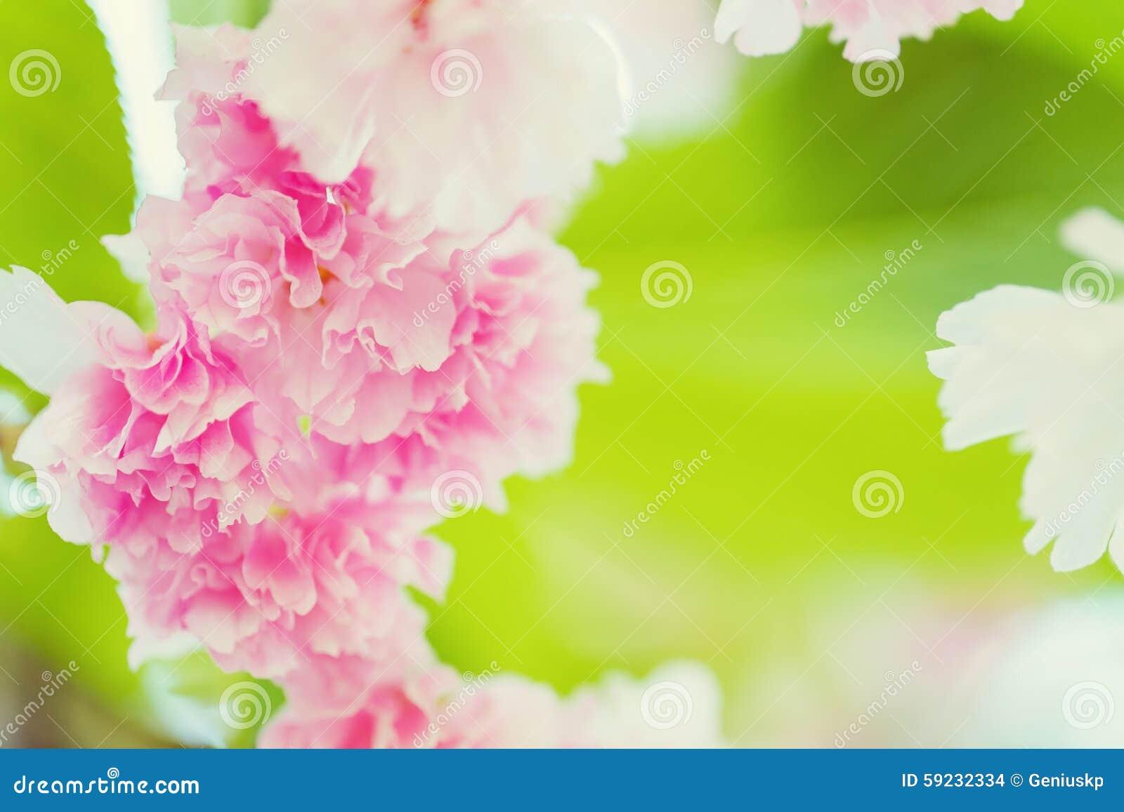 Download Sakura Rosado Cereza Floreciente Foto de archivo - Imagen de apacible, abril: 59232334