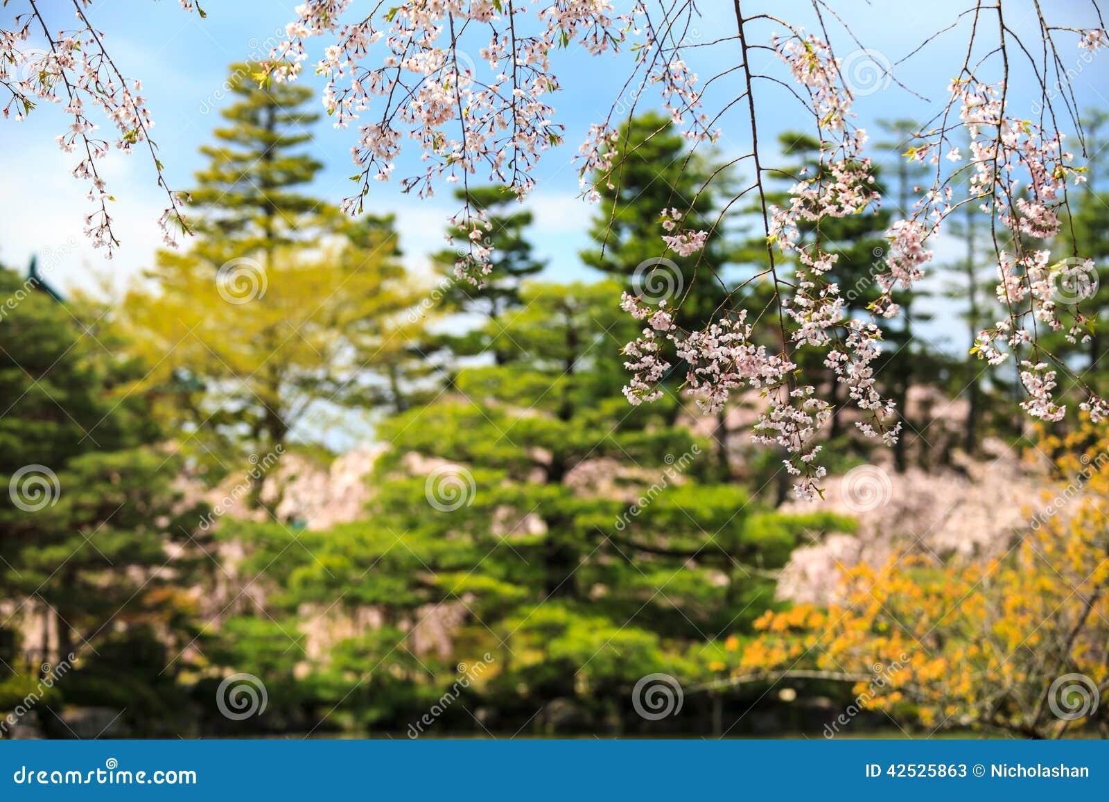Sakura seaskon w Japonia