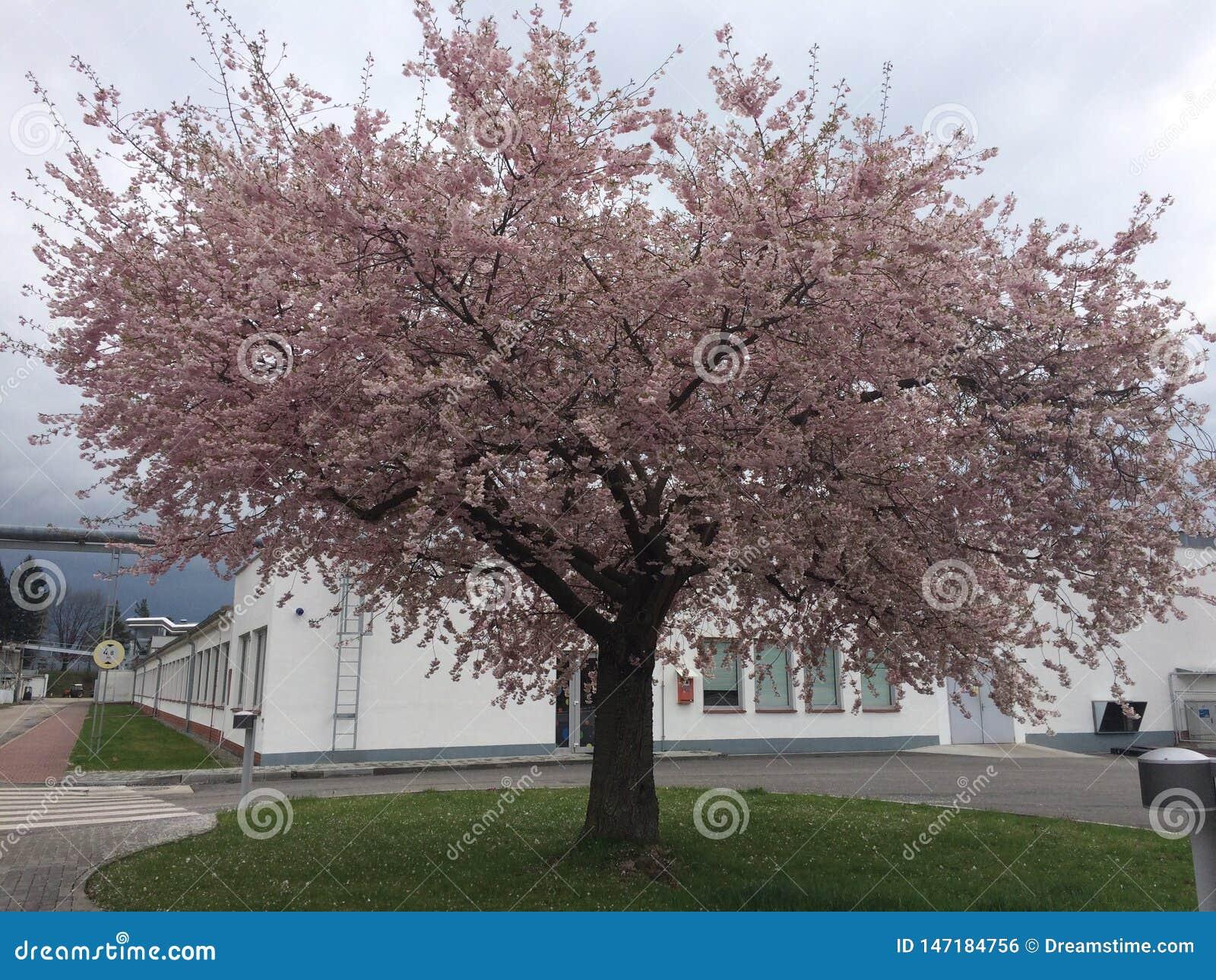 A Simple Sakura Tree
